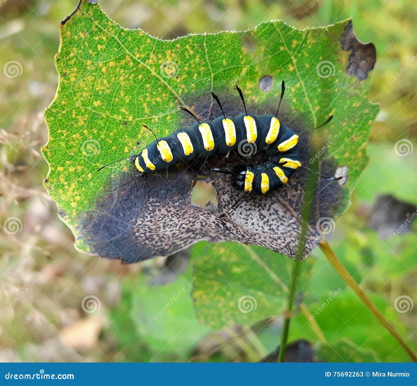 Larve jaune noire de chenille photo stock image 75692263 - Larve de mite ...