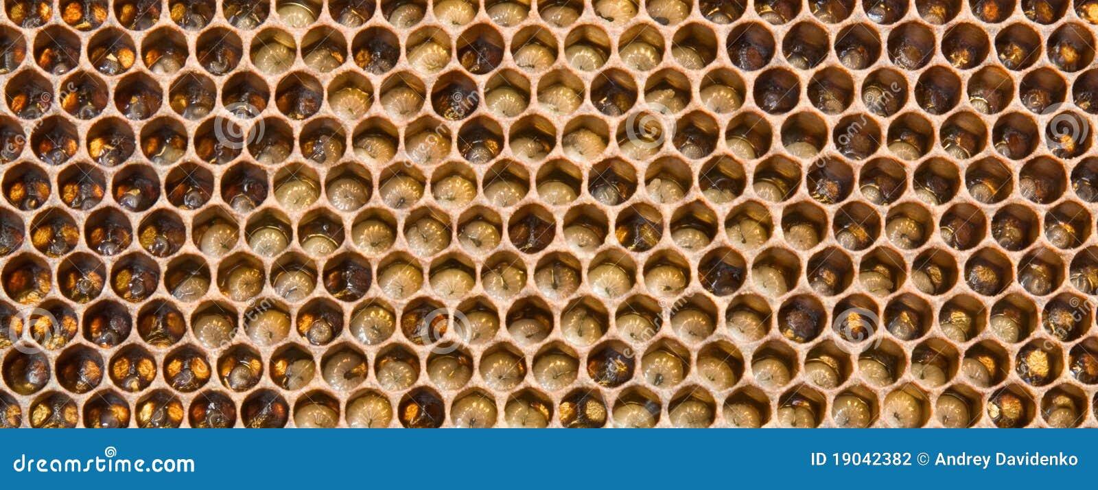 Larves le contrat à terme des abeilles