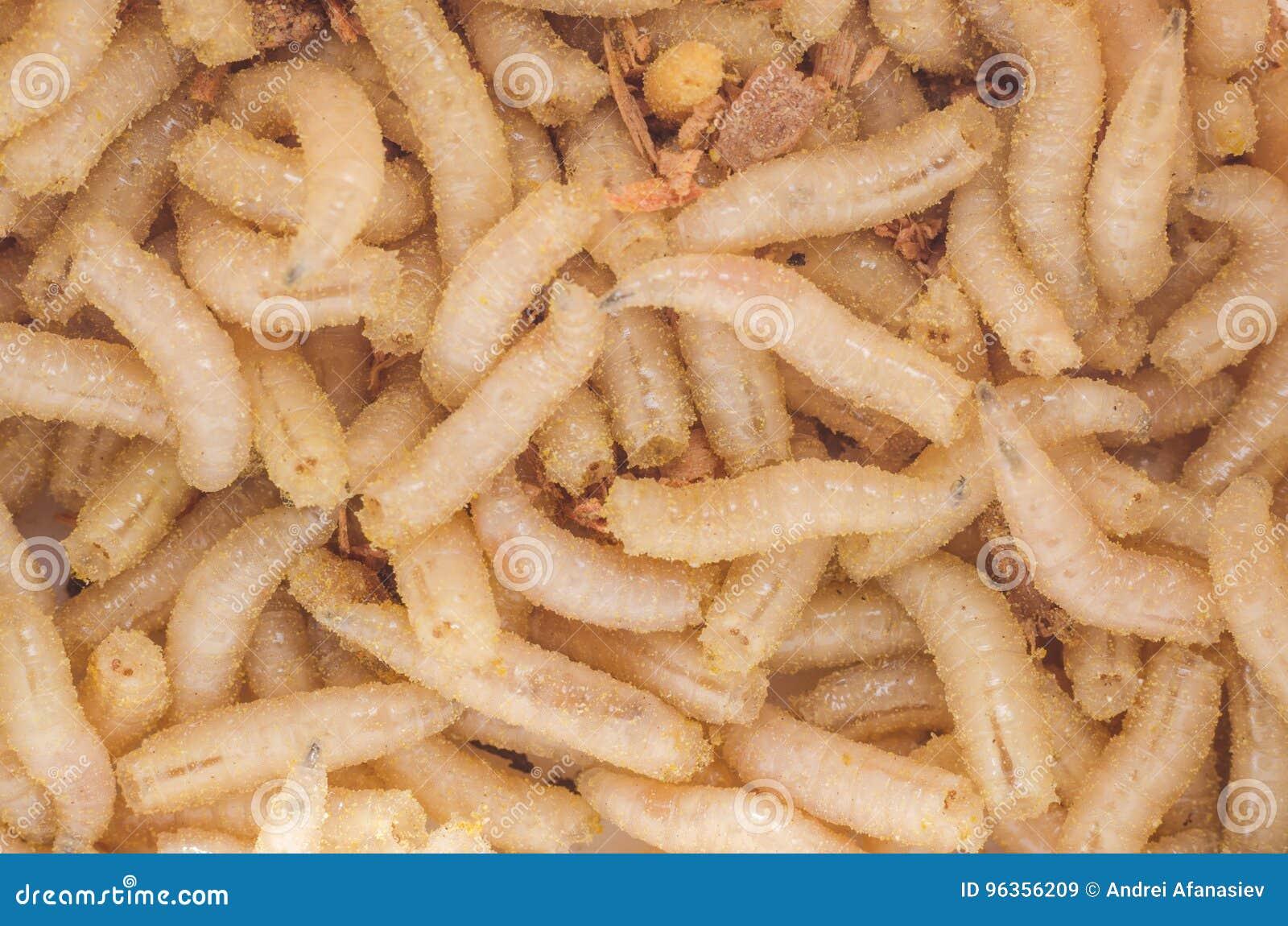 Larwa mięsna komarnica w trociny, zakończenie