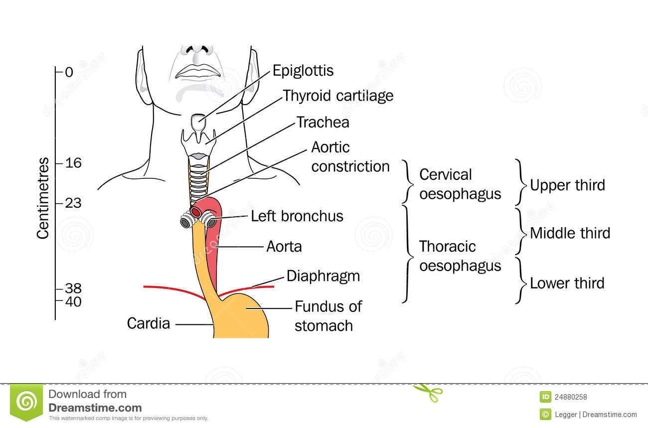 The larynx and trachea stock vector illustration of anatomy royalty free stock photo pooptronica Images