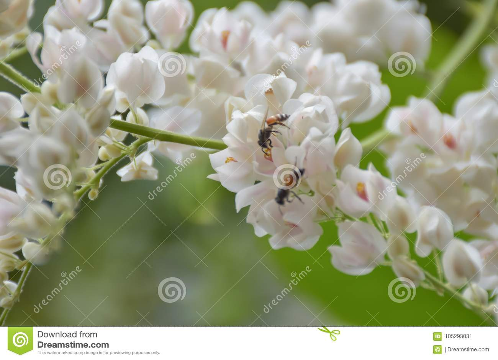 Las abejas chupan de la flor blanca del polen