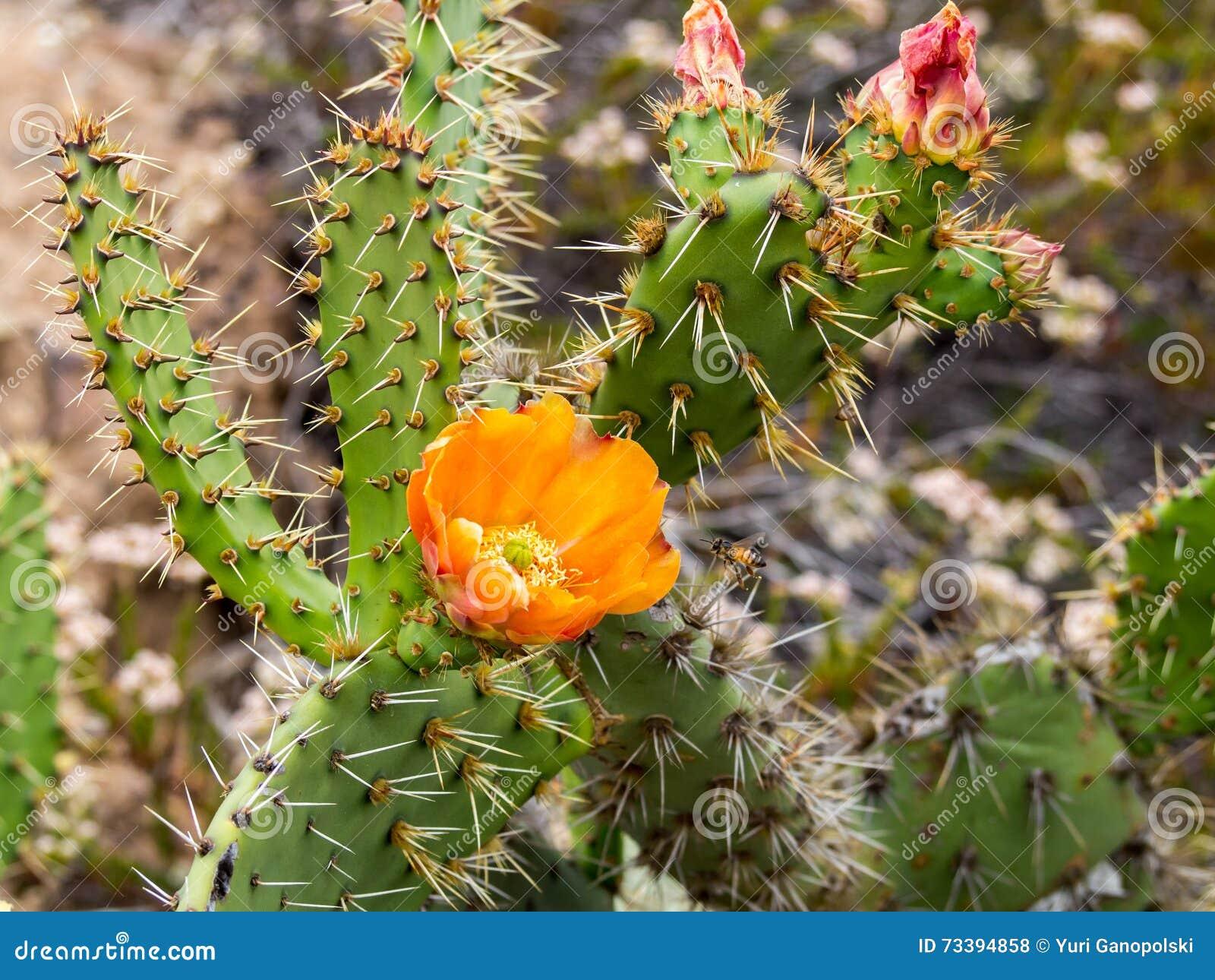 Las abejas están recogiendo el polen en el cactus floreciente de la pera de Pricky en el parque del desierto de la costa de Lagun