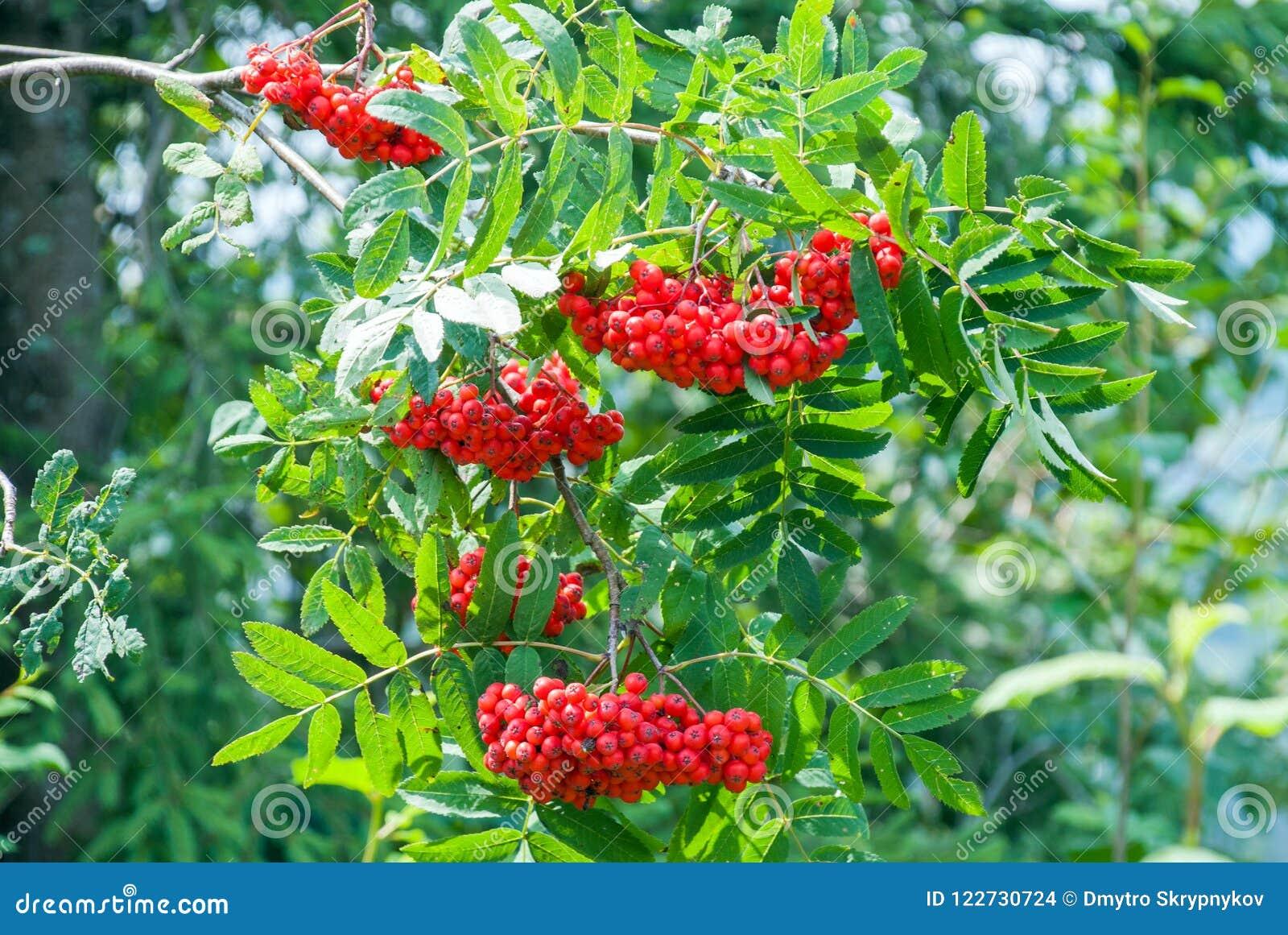 Las bayas de serbal, aucuparia del Sorbus, árbol también llamaron la ceniza del serbal y de montaña