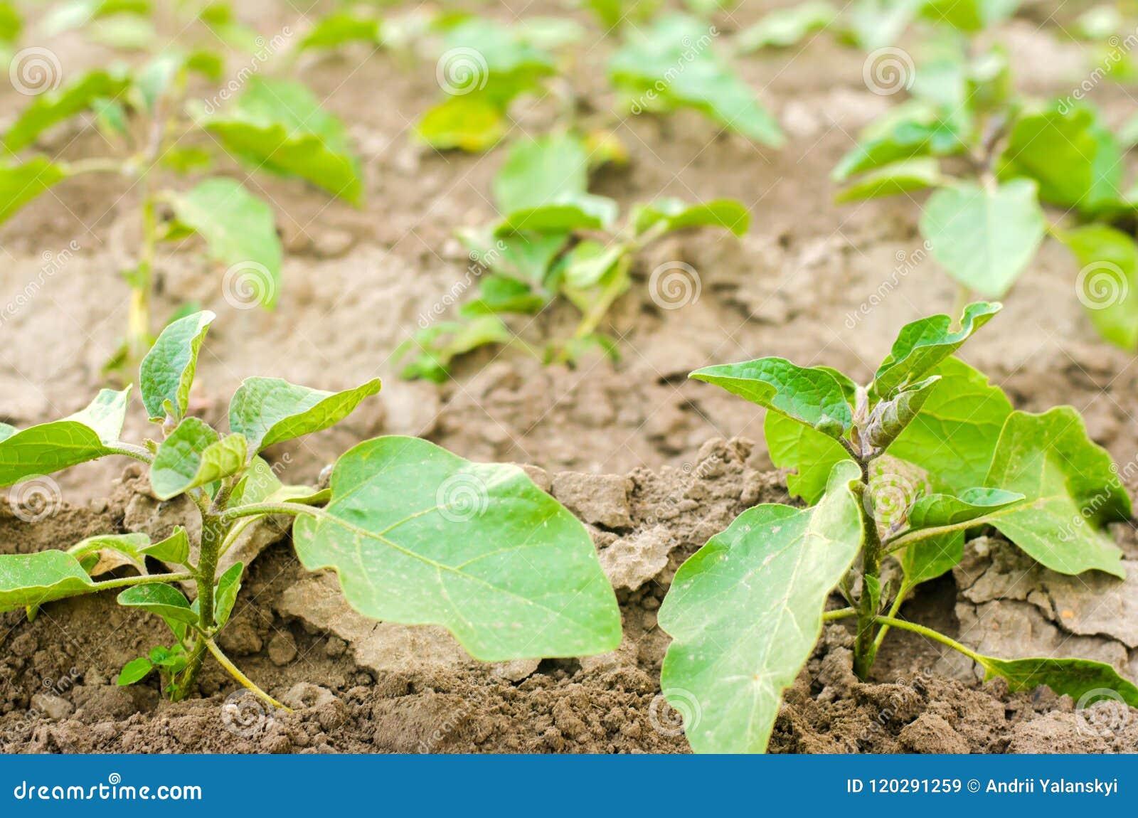 Las berenjenas jovenes crecen en el campo filas vegetales Agricultura, verduras, productos agrícolas orgánicos, agroindustria Tie