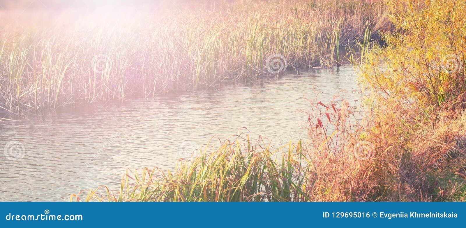 Las cañas naturales de la hierba seca de la orilla del río del paisaje del otoño de la bandera riegan el fondo borroso del foco s