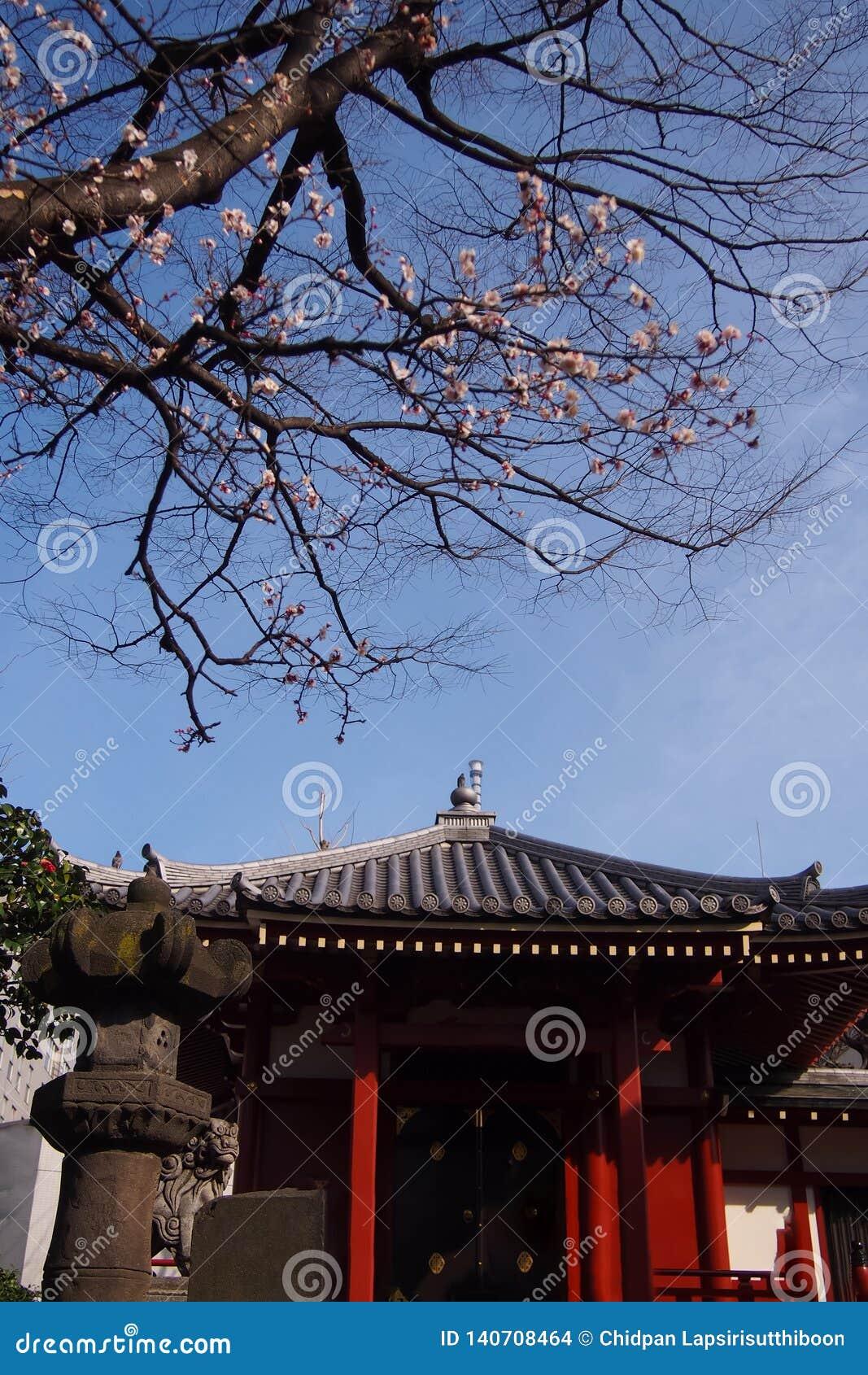 Las capillas, templos, lugares públicos en Japón y allí son un árbol hermoso de la flor de cerezo en frente