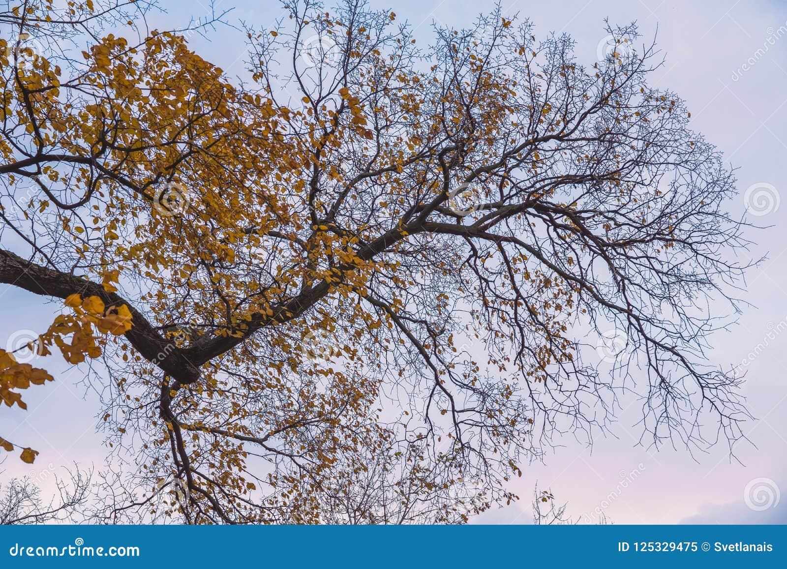 Las coronas brillantes del árbol del otoño, volando en el viento el último se van, las ramas deshojadas secas