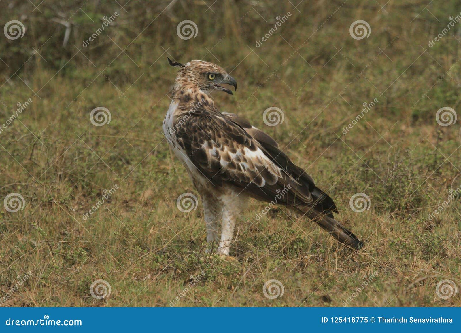 Las distancias largas, sostenido observan, la blanco de la imagen, Hawk Eagle con cresta, cresta vertical larga, se elevan rarame