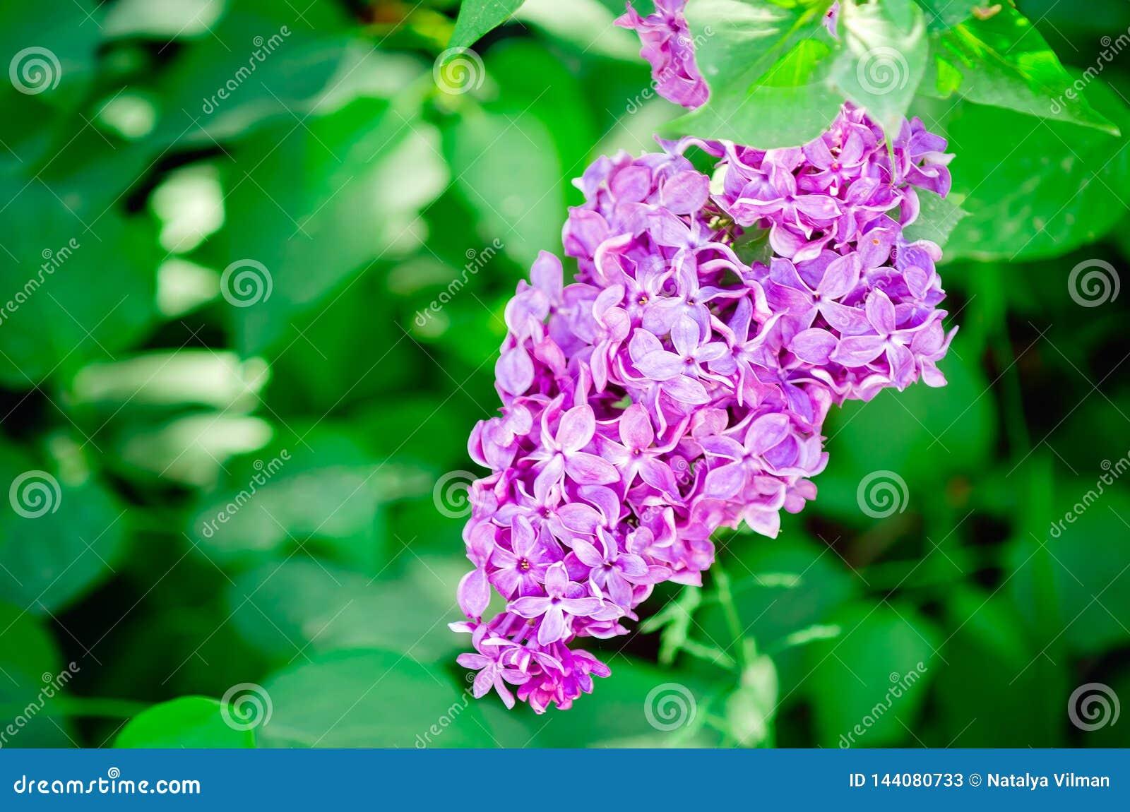 Las floraciones del arbusto de lila del jardín en la primavera Primer, foco selectivo