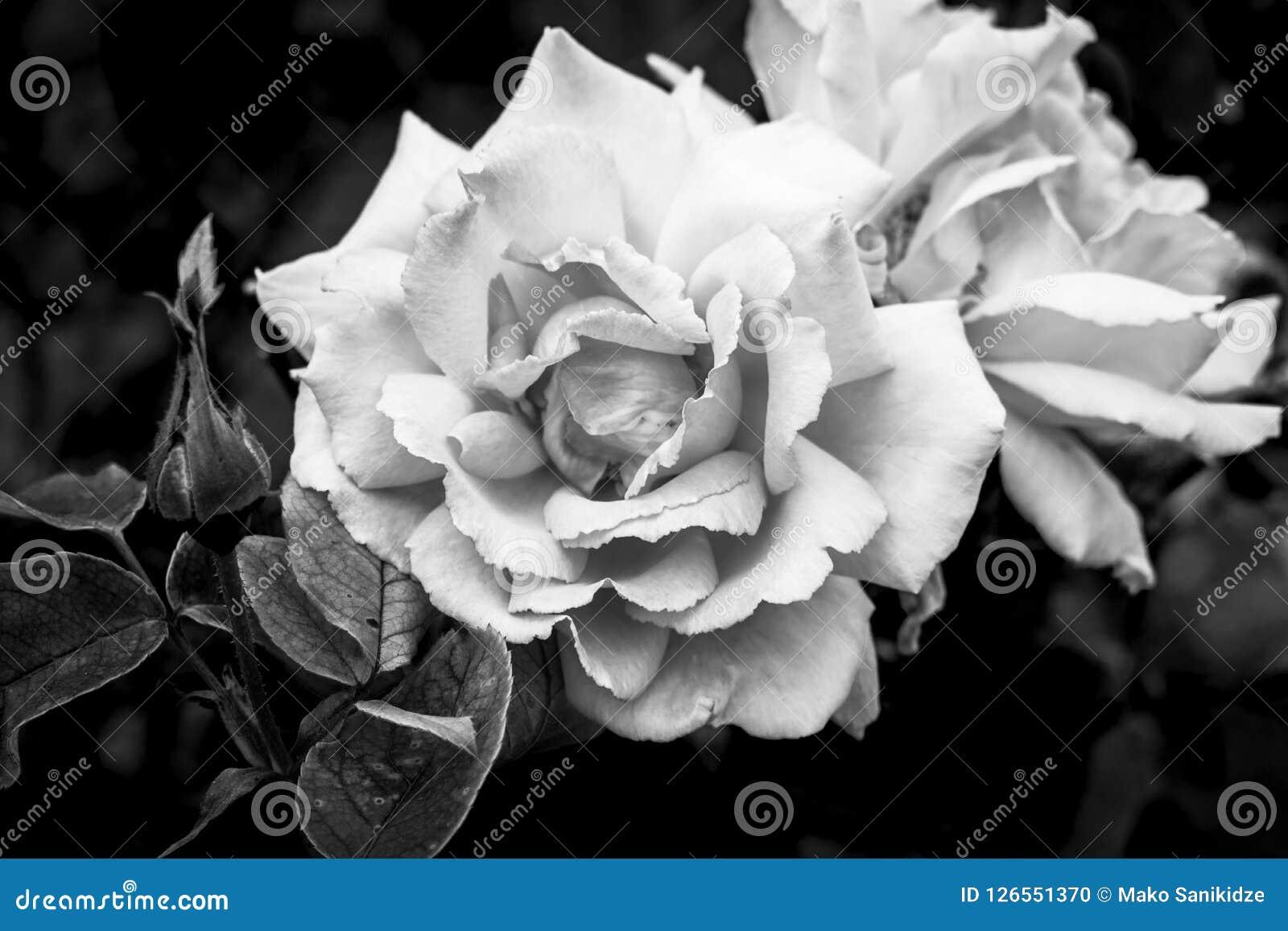 Las floraciones hermosas se cierran encima de rosas en el jardín en un humor negro del nostálgico del fondo