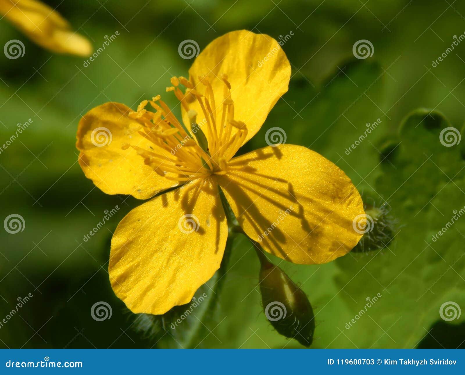 Las Flores Amarillas De Plantas Medicinales Son Celandine Imagen De