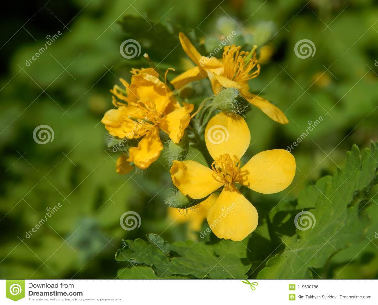 Las Flores Amarillas De Plantas Medicinales Son Celandine Foto De