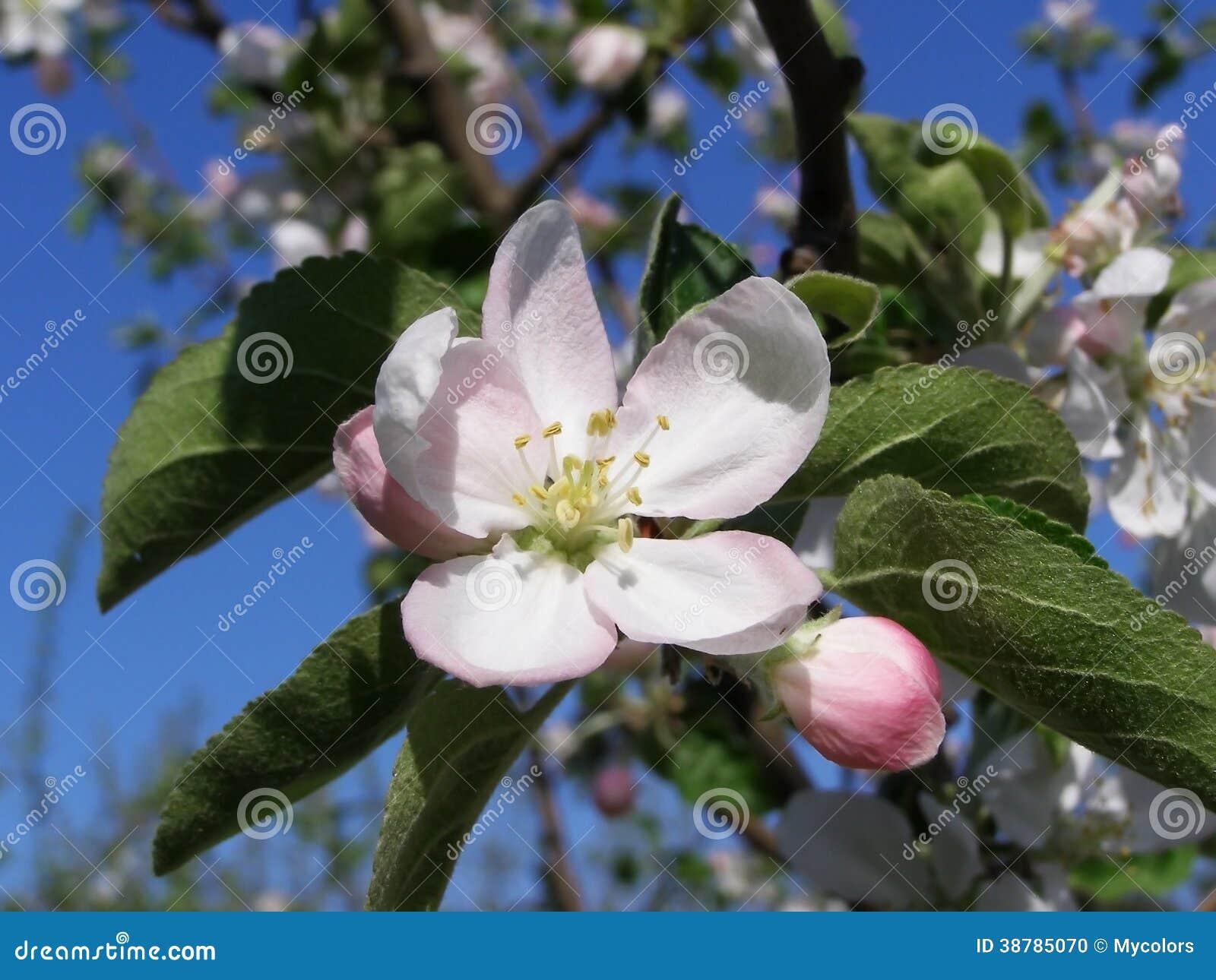 Las flores blancas en un árbol en una primavera cultivan un huerto