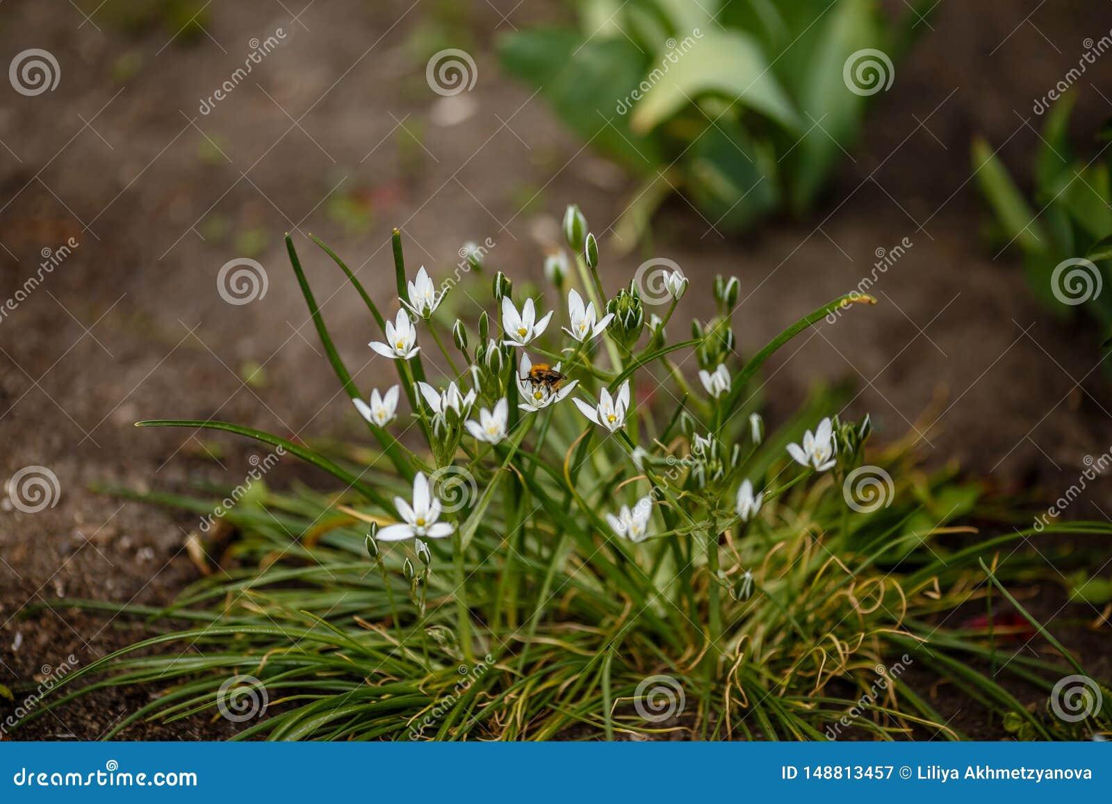 Las flores blancas en un macizo de flores llamaron el jardín de la primavera del ornithogalum