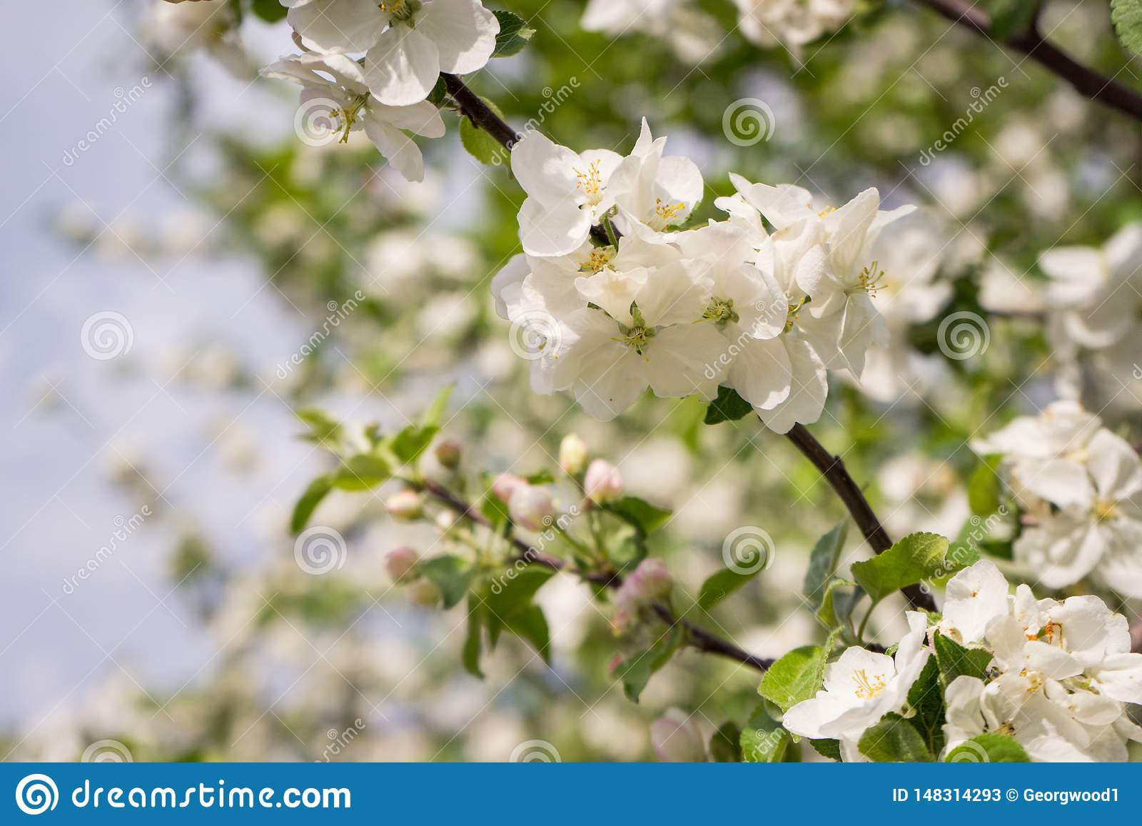 ?Las flores de Apple son hola a partir de primavera!