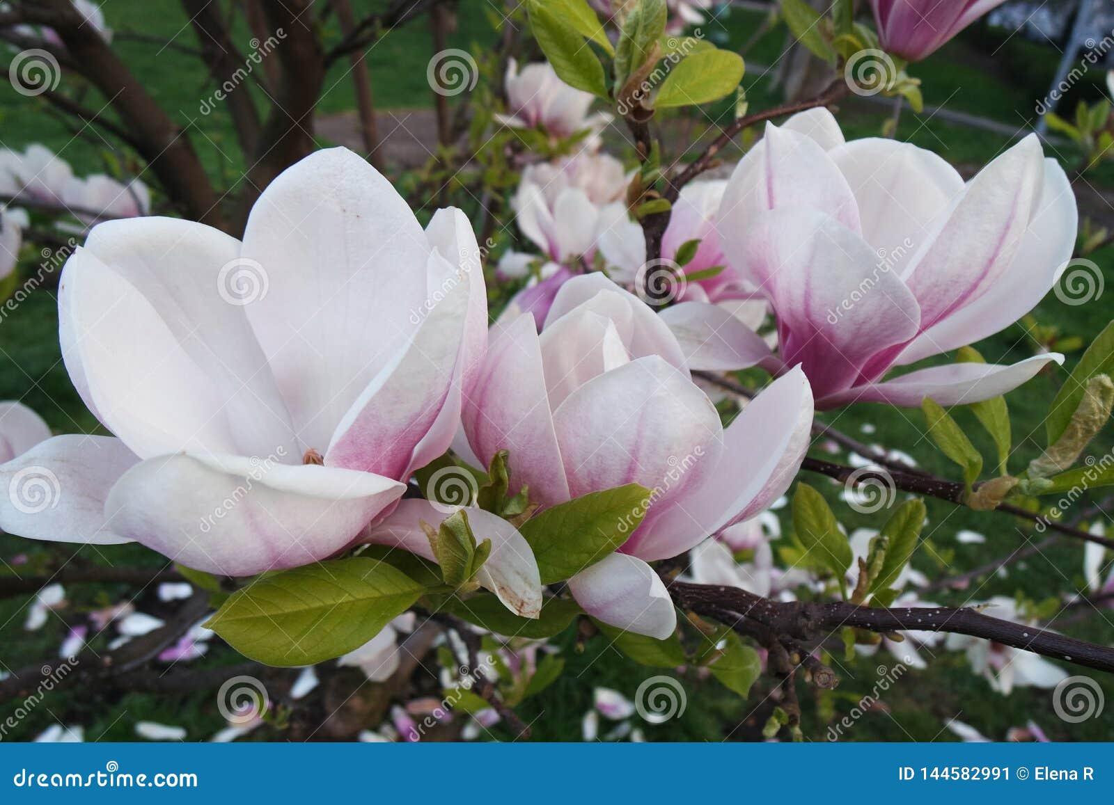 Las flores de la magnolia saltan floreciendo en Praga