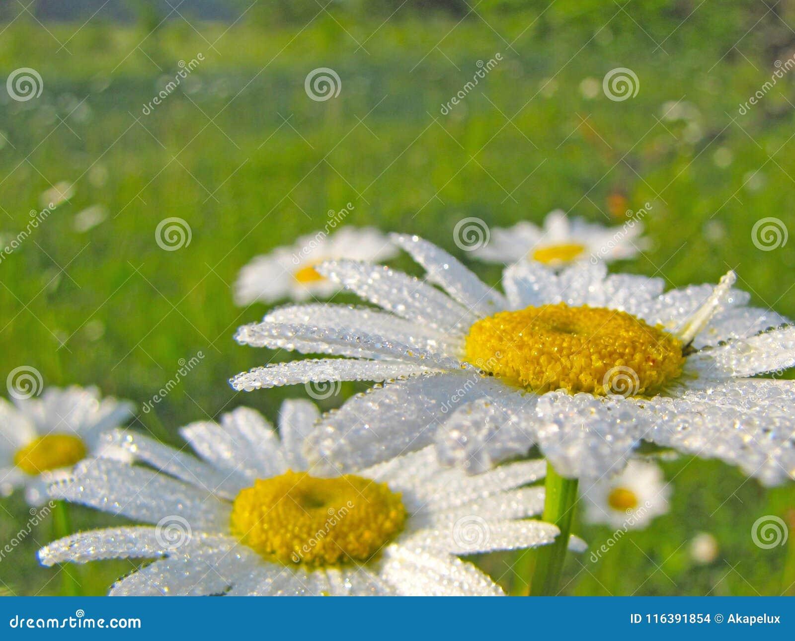 Las flores de la manzanilla de la manzanilla en descensos de la mañana rocían Humor alegre de la mañana