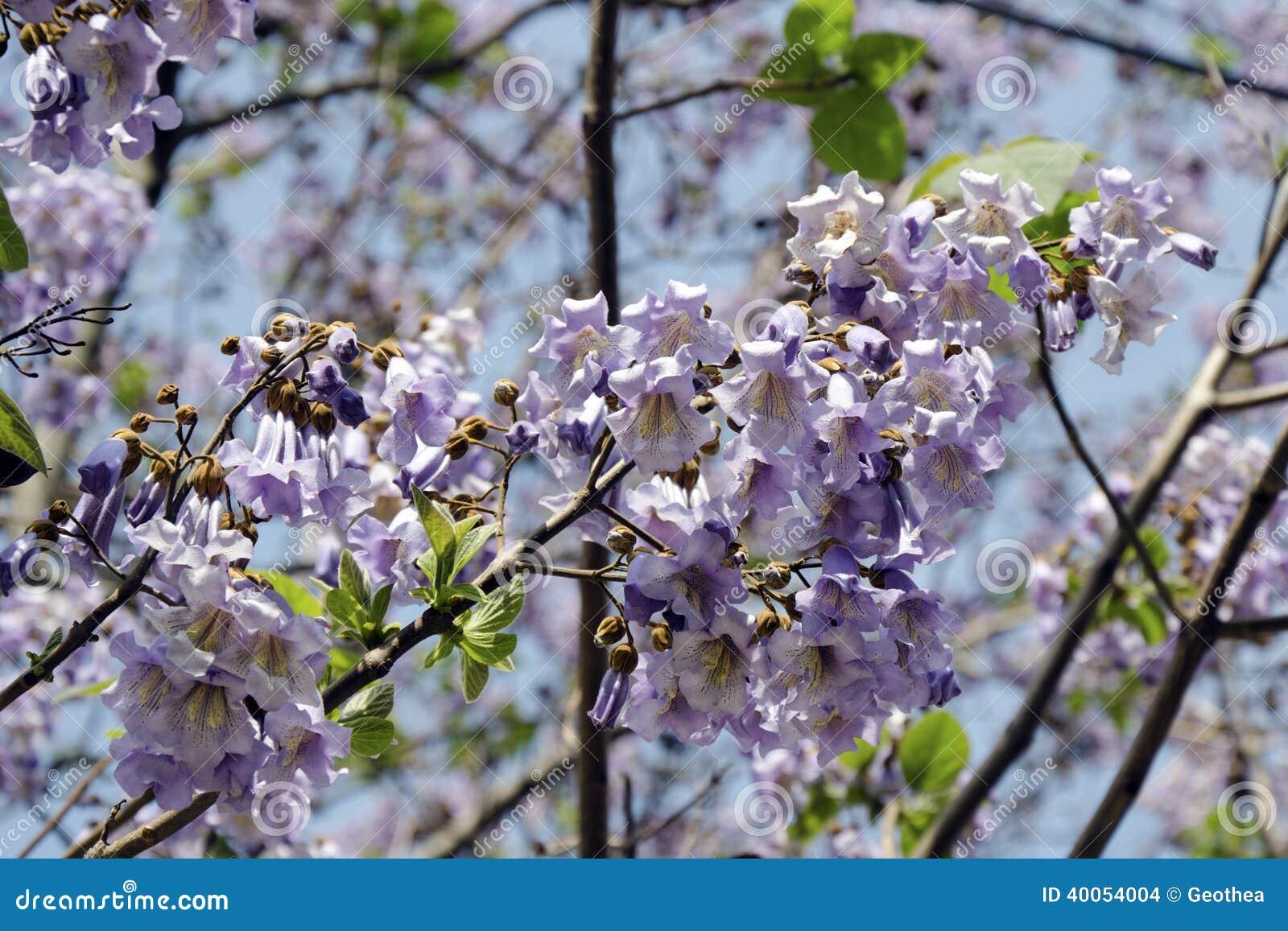Las flores del tomentosa del Paulownia