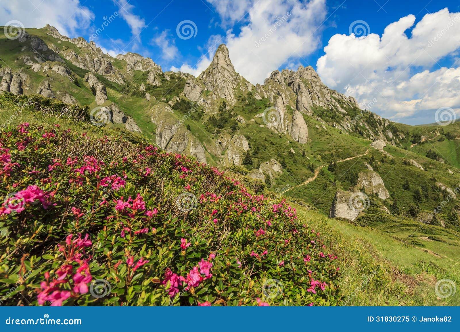 Las flores hermosas y el verano del rododendro ajardinan en las montañas de Ciucas, Rumania