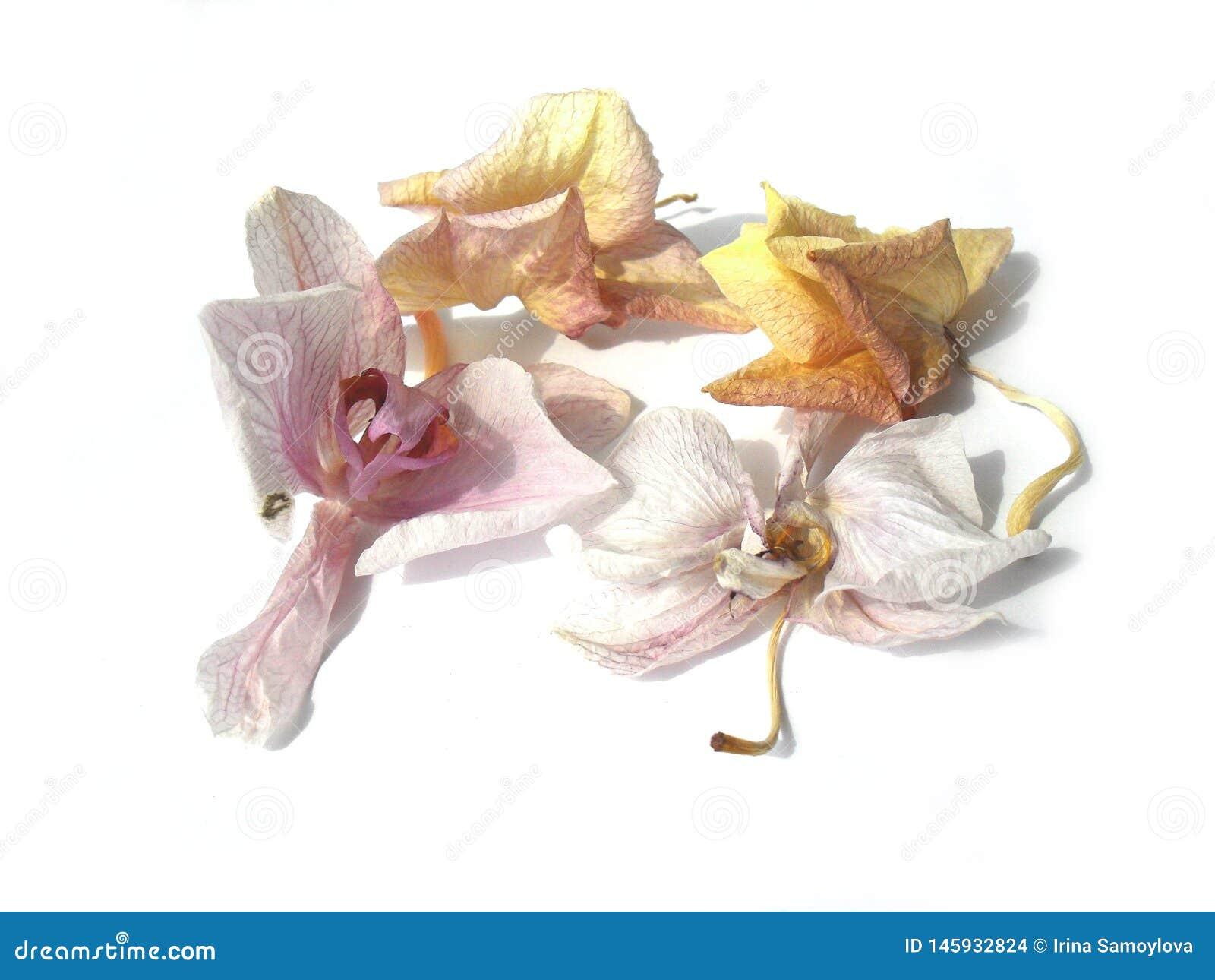 Las flores marchitadas de la orquídea en el fondo blanco