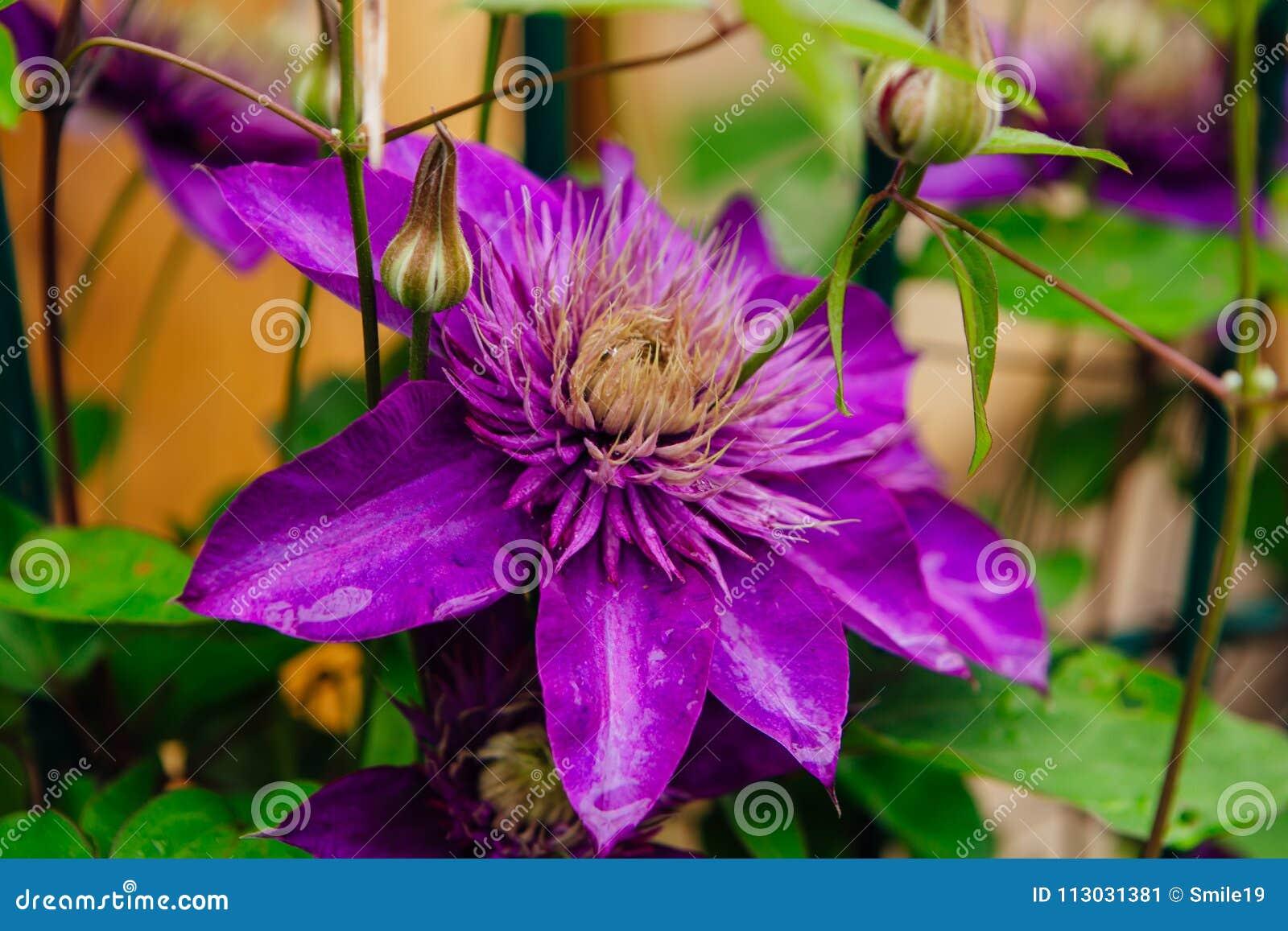 Las flores púrpuras grandes nombraron Clematis o la flor del presidente después de lluvia