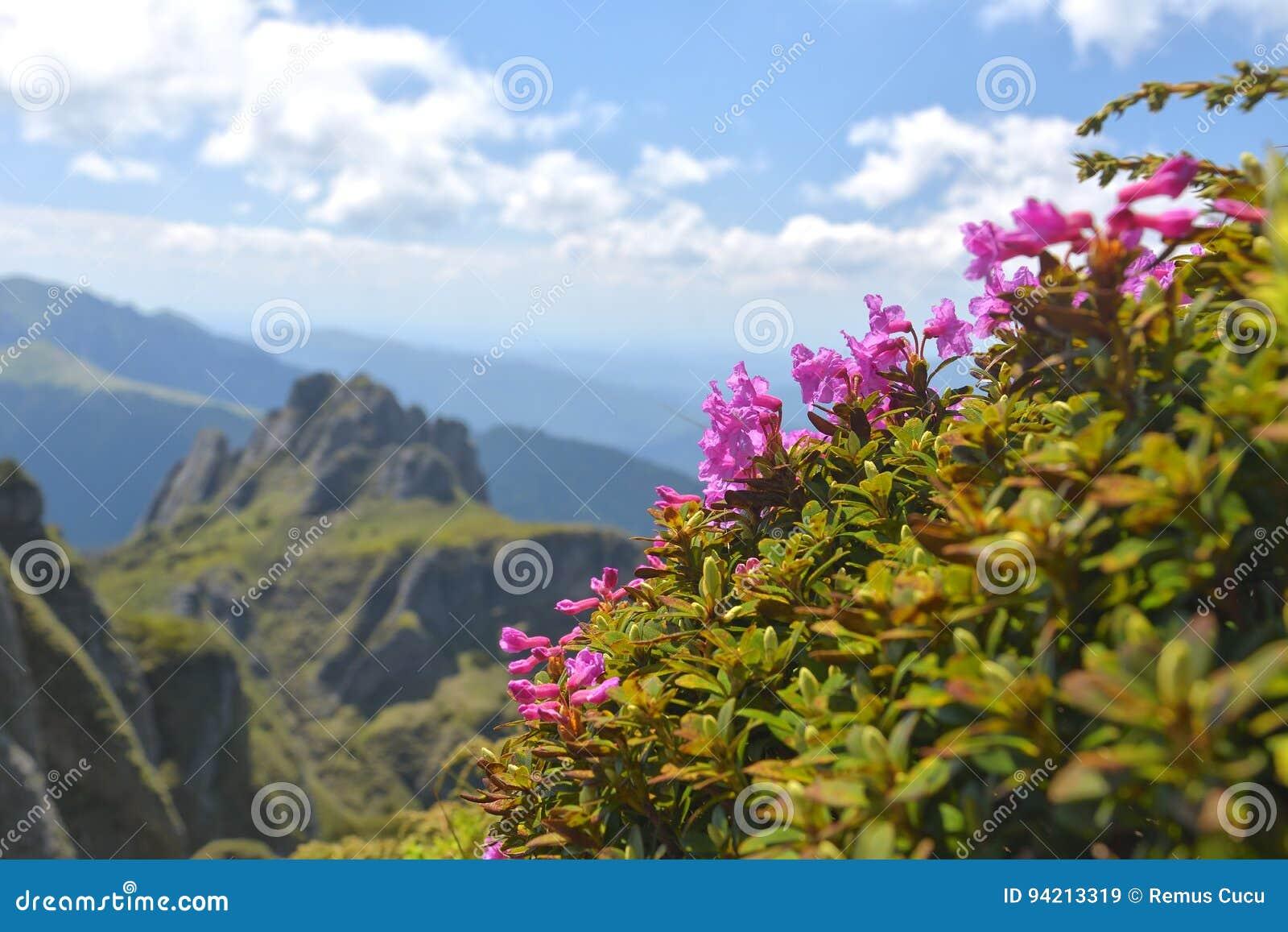 Las flores y la primavera hermosas del rododendro ajardinan en las montañas de Ciucas, Rumania