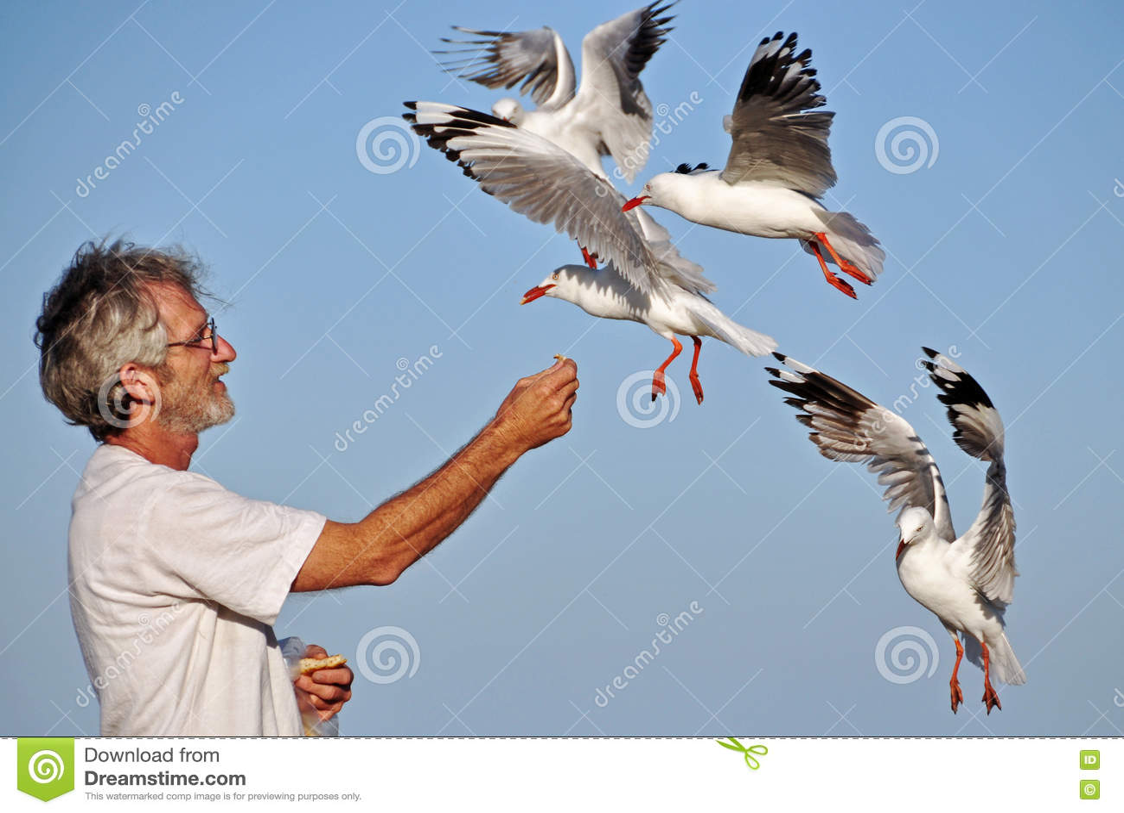 Las gaviotas de alimentación de la mano mayor de un más viejo hombre los pájaros de mar el verano varan día de fiesta