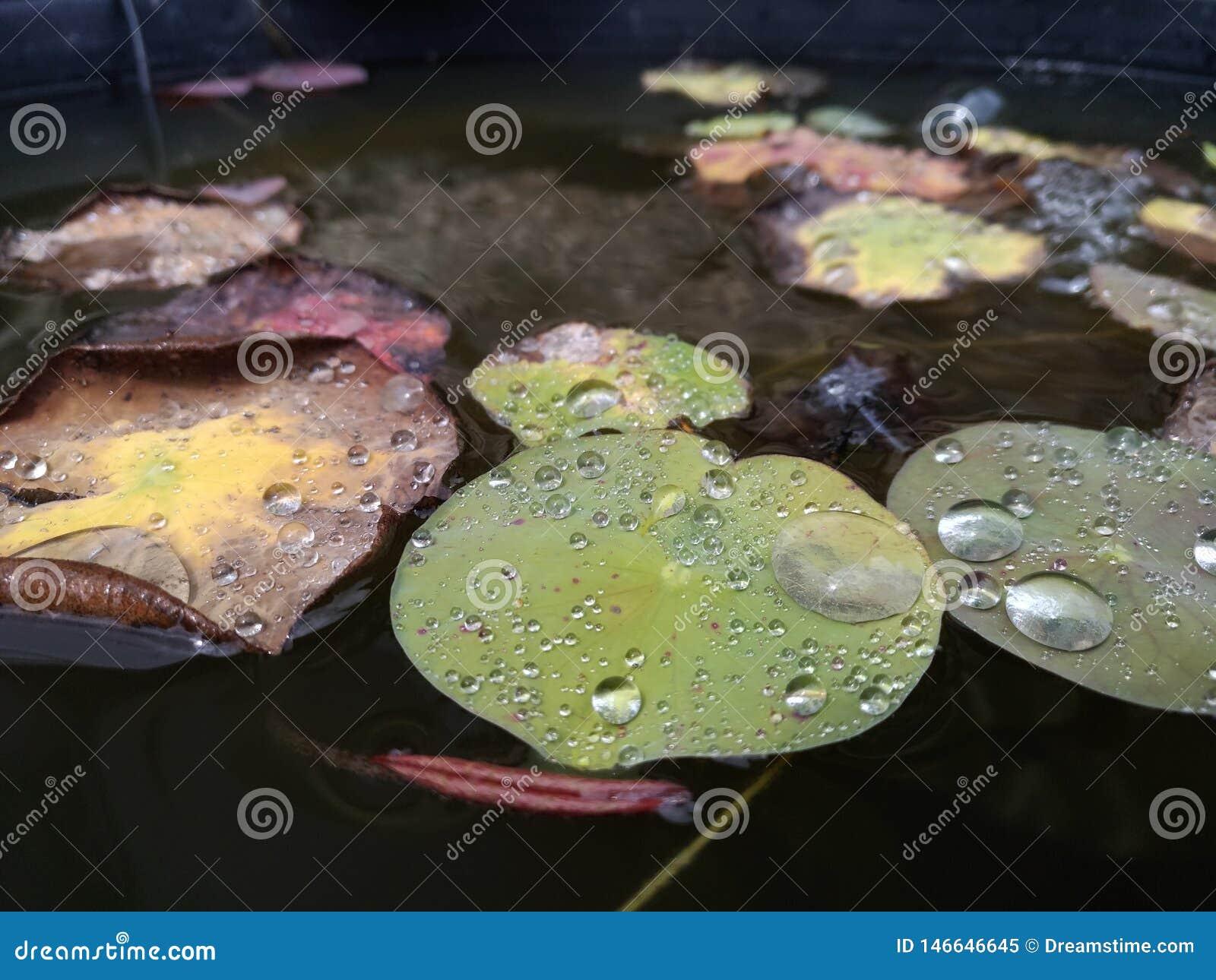 Las gotas de agua lluviosas de la lluvia acumulan waterplants