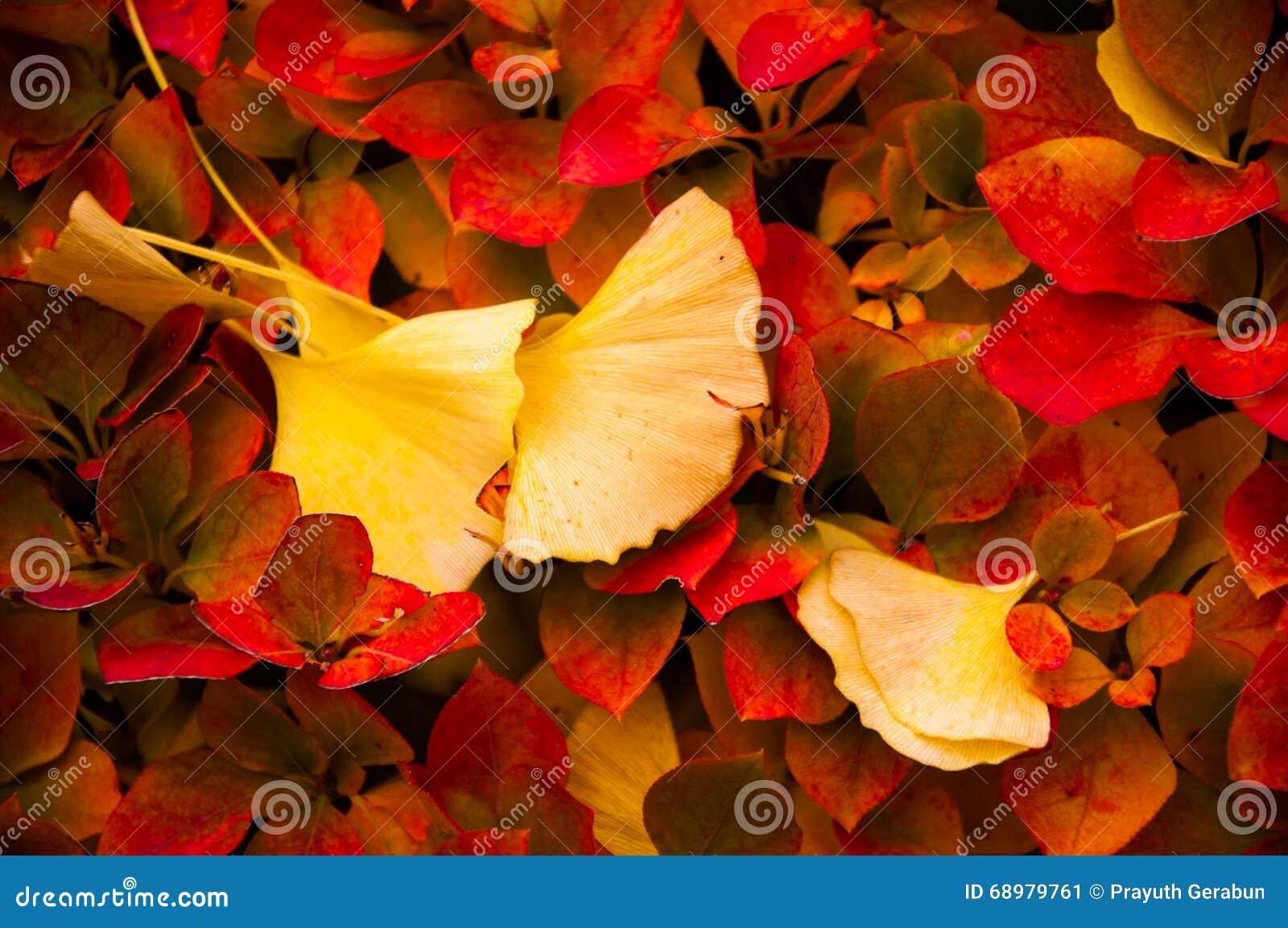 Las hojas amarillas del ginkgo cayeron encima de las hojas rojas