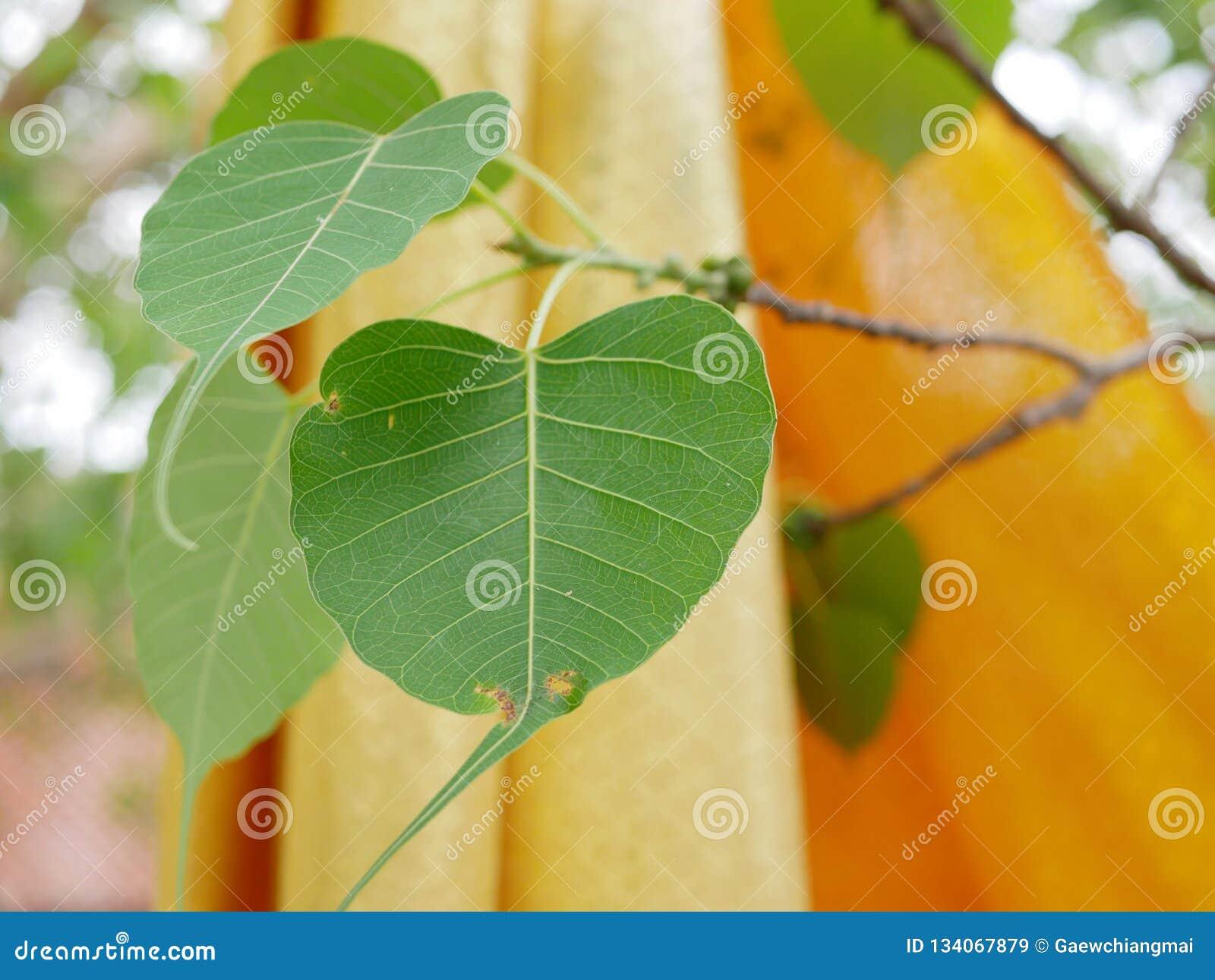 Las hojas del árbol de Bodhi con los trajes borrosos de los monjes budistas en el fondo