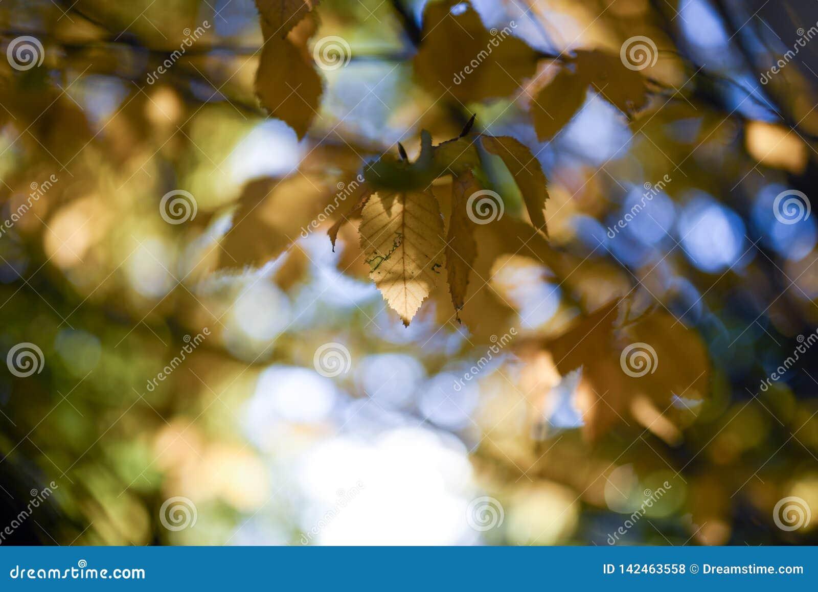 Las hojas del follaje de otoño amarillean Bokeh