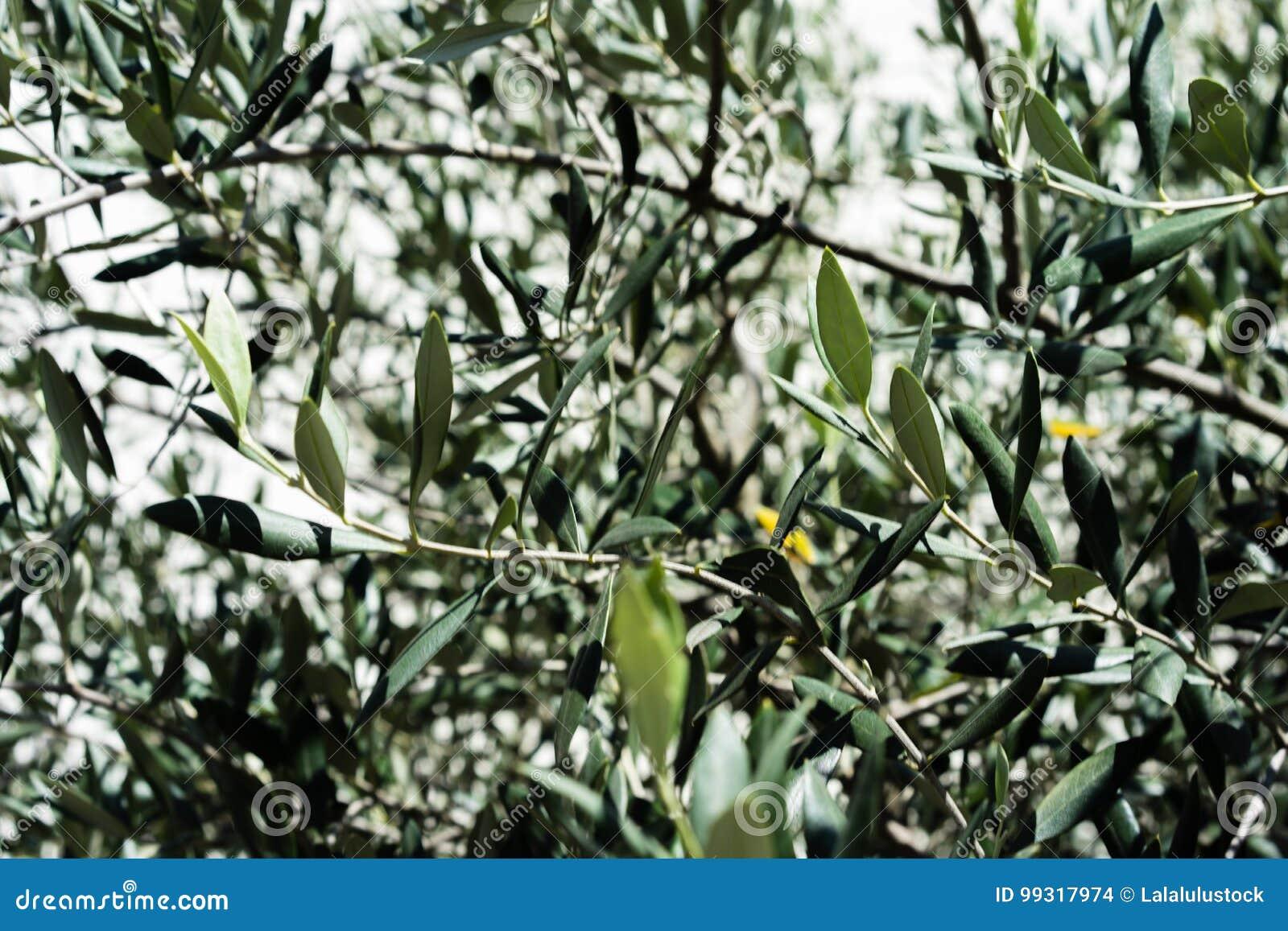 Las hojas del olivo del europaea del Olea hojean cerca para arriba con la luz shinging a través de árbol mediterráneo de la plant