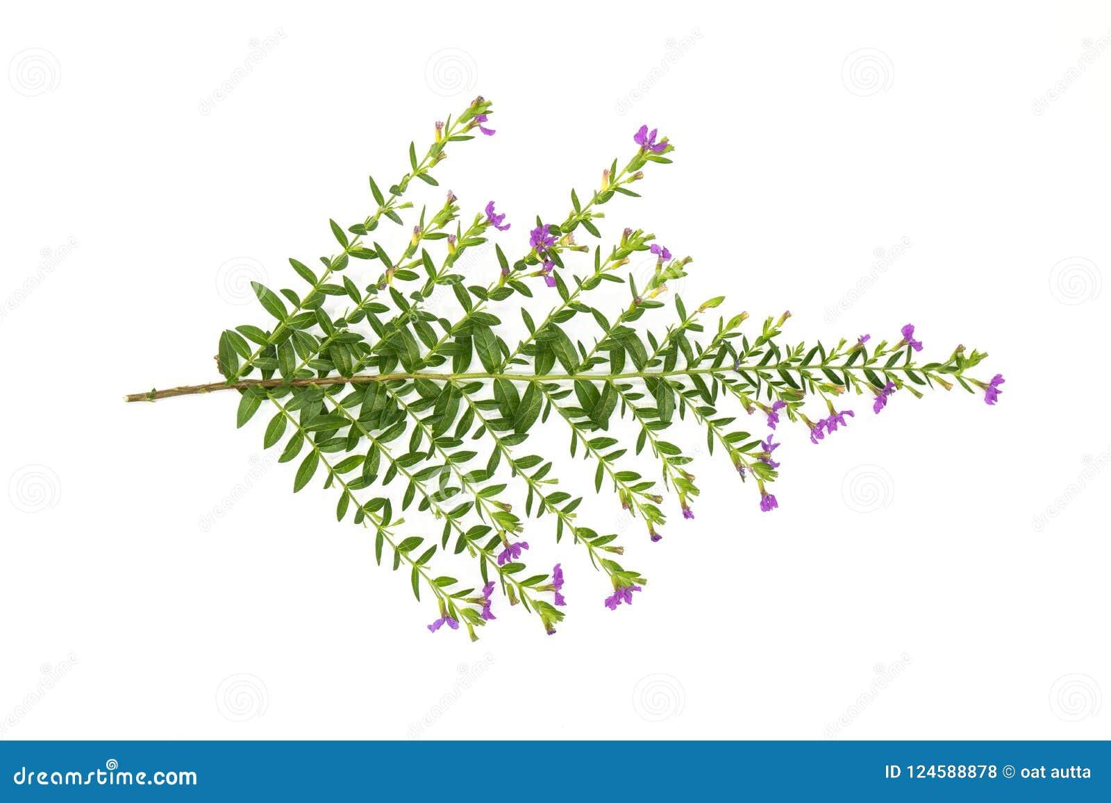 Las hojas frescas del verde ramifican y pican la flor aislada en el fondo blanco del fichero con la trayectoria de recortes