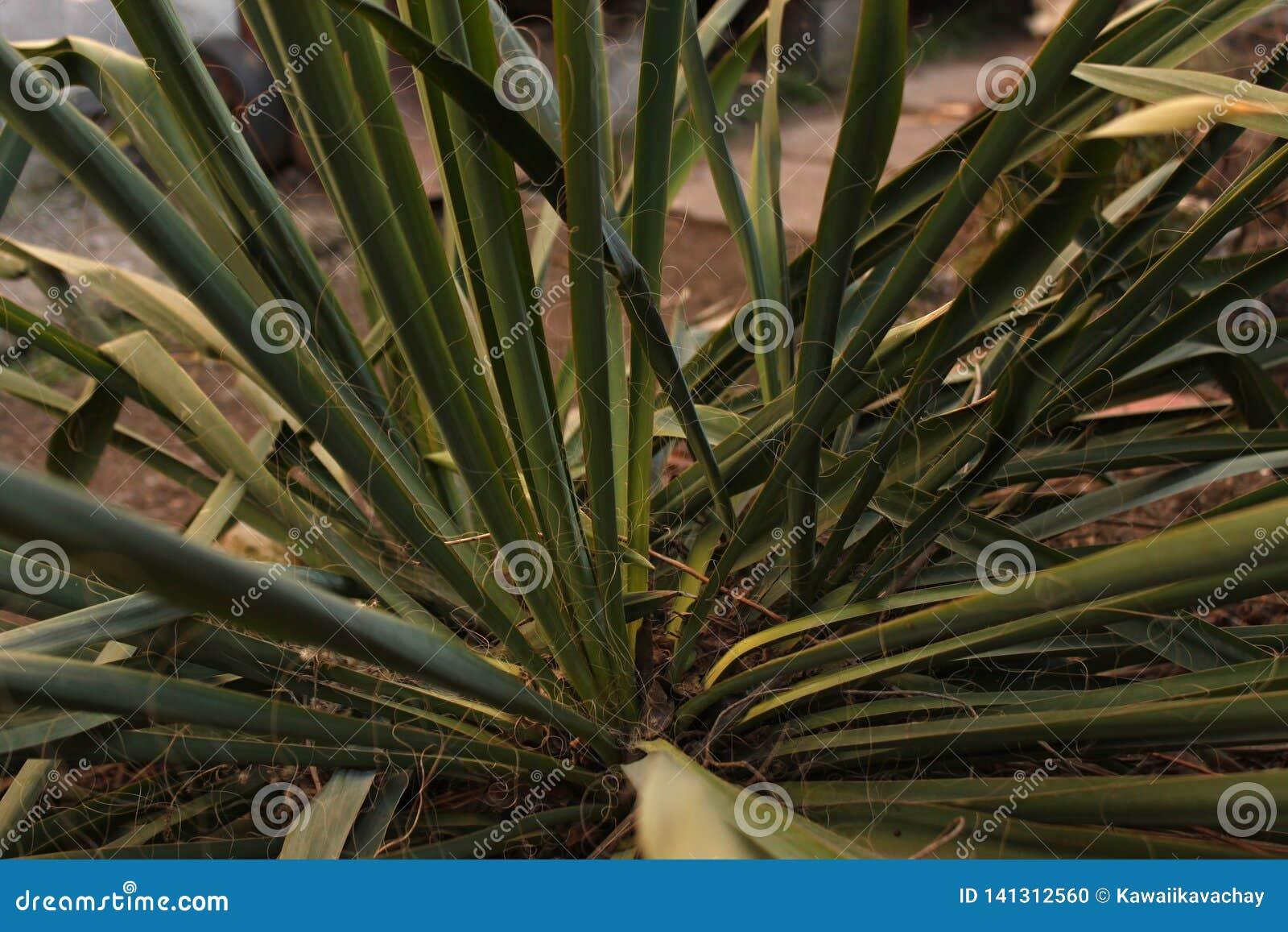 Las hojas verdes de la planta de la yuca crecen en una cama en la yarda