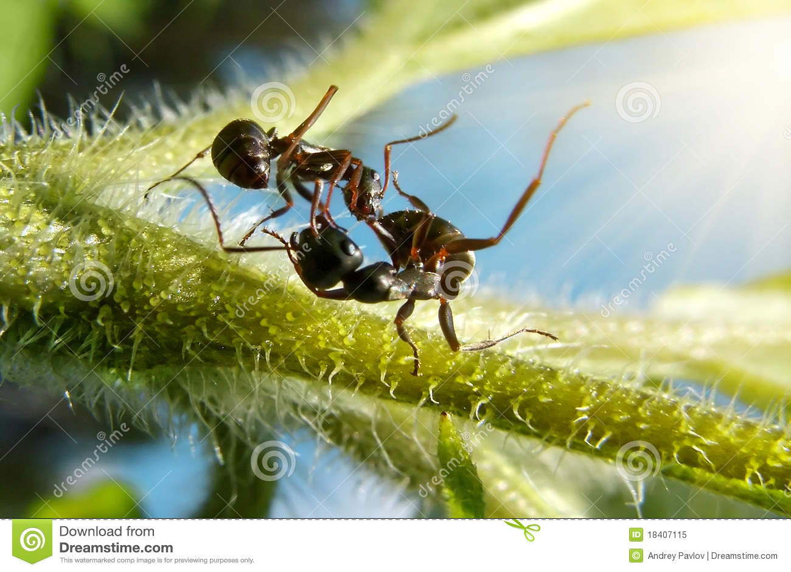 Las Hormigas Del Jardín Luchan En La Hoja Verde Bajo El Sol Imagen ...