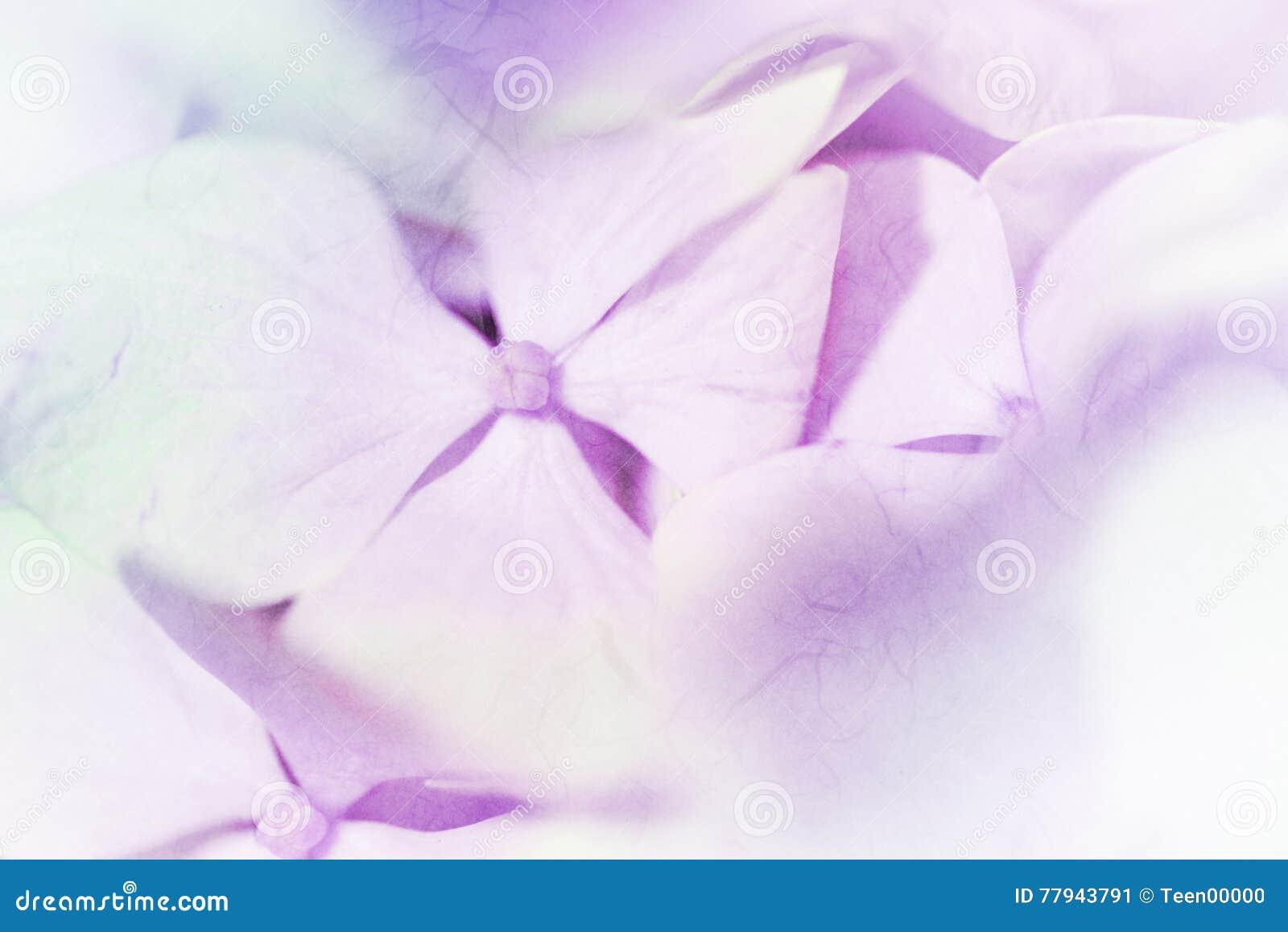 Las Hortensias Vivas Del Color En Colores Pastel Del Color - Color-de-las-hortensias