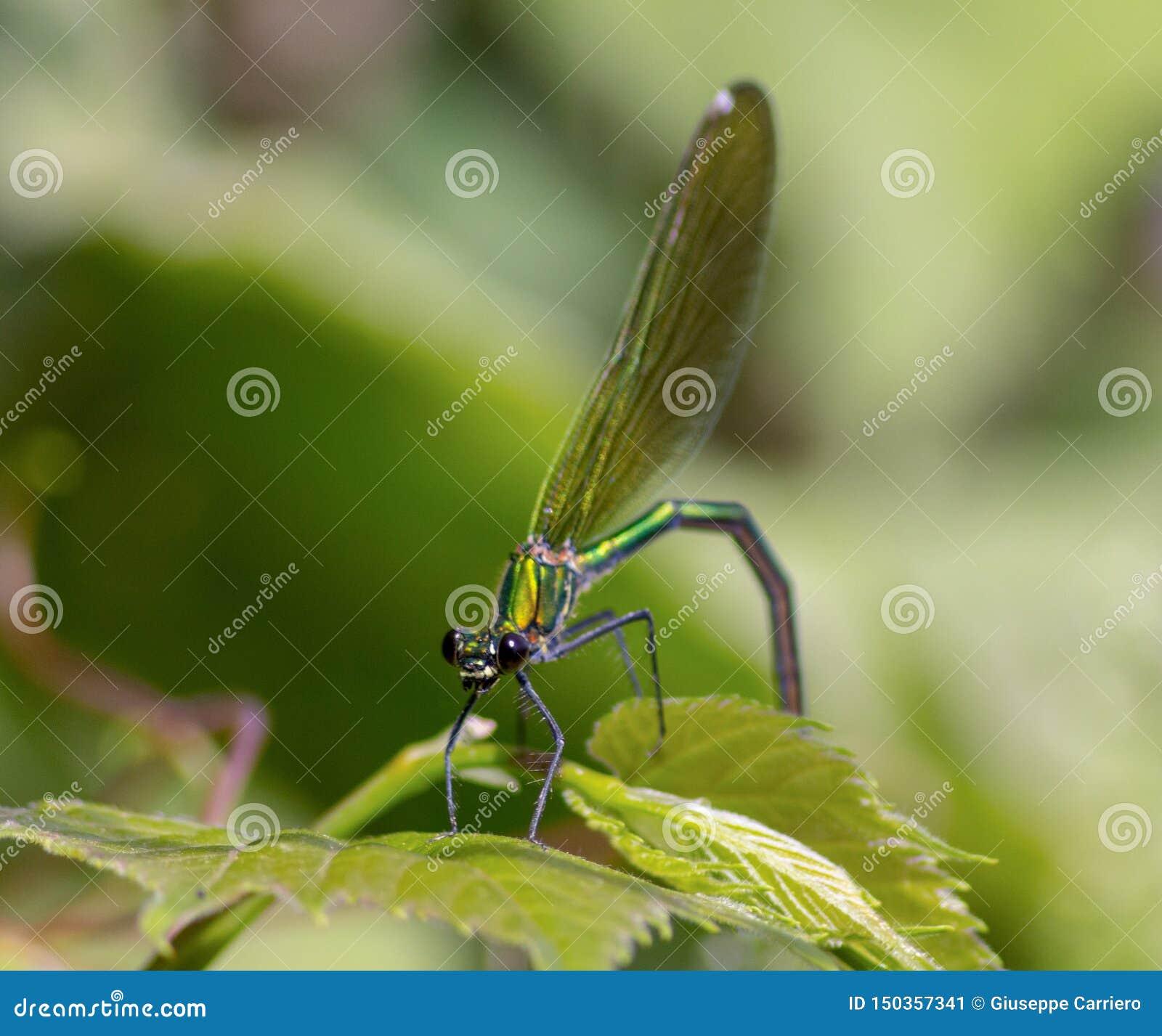 Las libélulas tienen una cabeza muy voluminosa, los ojos compusieron del ommatidia cerca de 50.000 y de antenas relativamente cor