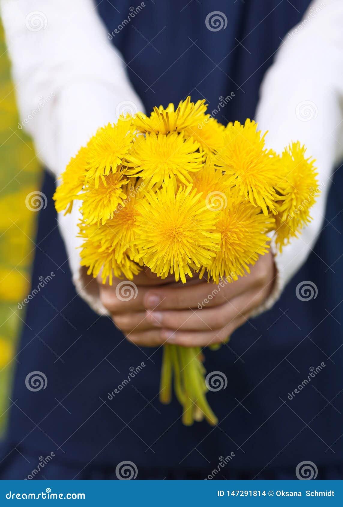 Las manos de la muchacha que sostienen un ramo de dientes de león amarillos brillantes