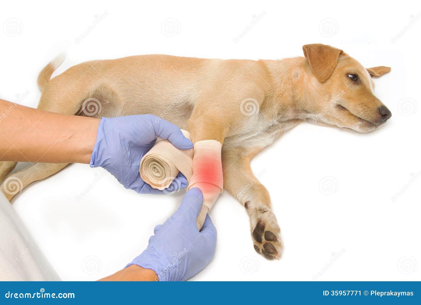 Las manos del veterinario que envuelven un vendaje en la pierna del perrito