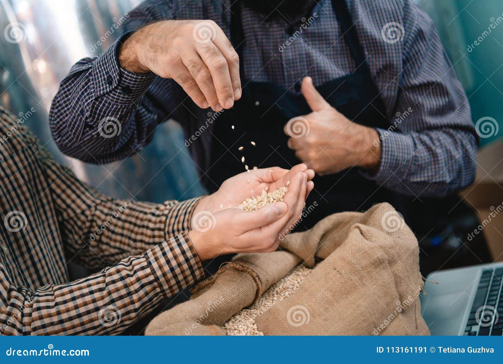 Las manos masculinas toman el brazado de cebada del bolso Control de calidad de la cebada para la producción de la cerveza