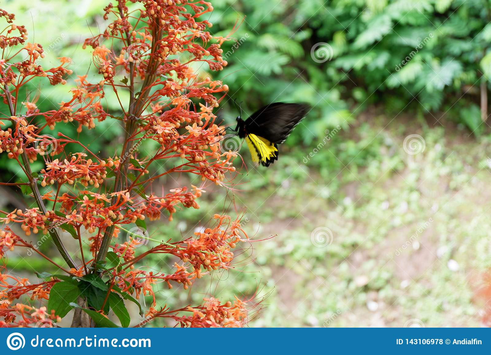 Las mariposas negras se encaraman en las flores rojas