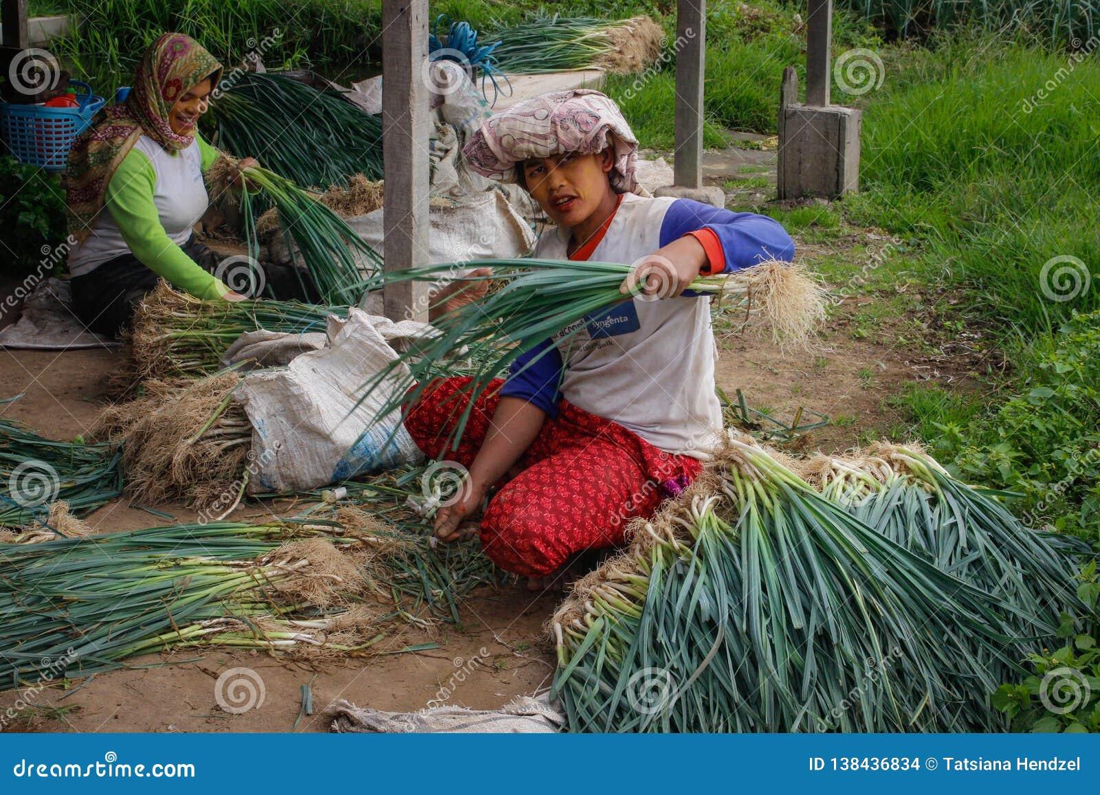 Las mujeres locales están cosechando cebollas en la plantación de un granjero Agricultura en la isla de Sumatra