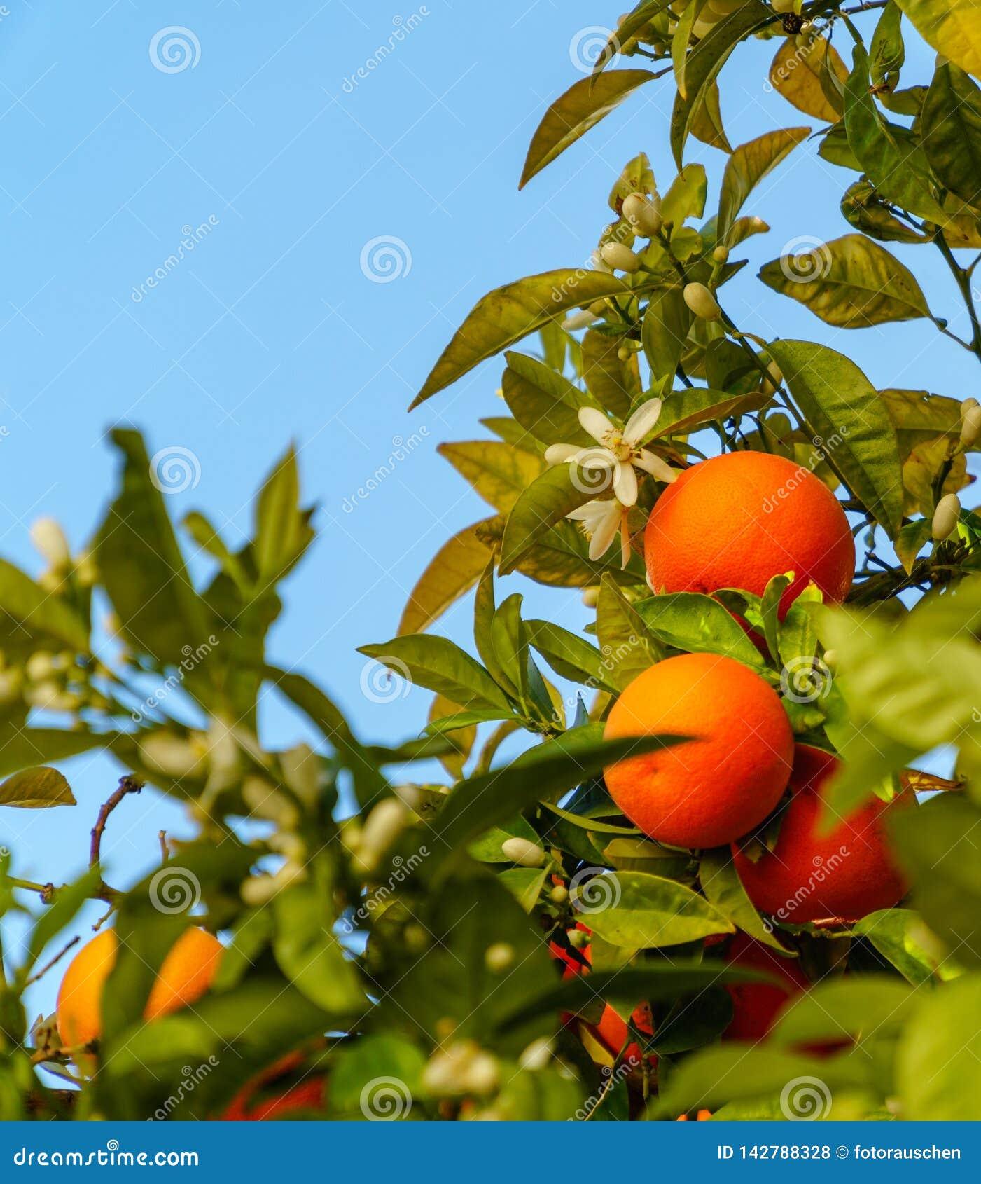 Las naranjas y los flores vibrantes maduros cuelgan de un árbol