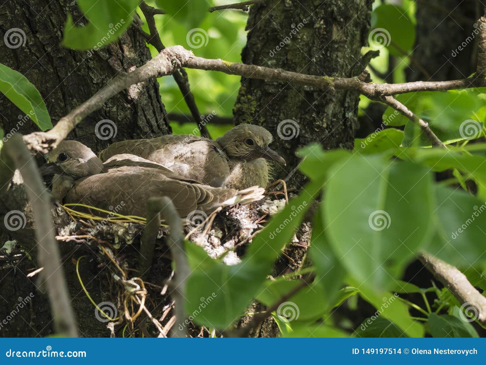 Las palomas recién nacidas se están sentando en la jerarquía y para la mamá que espera para conseguir la comida