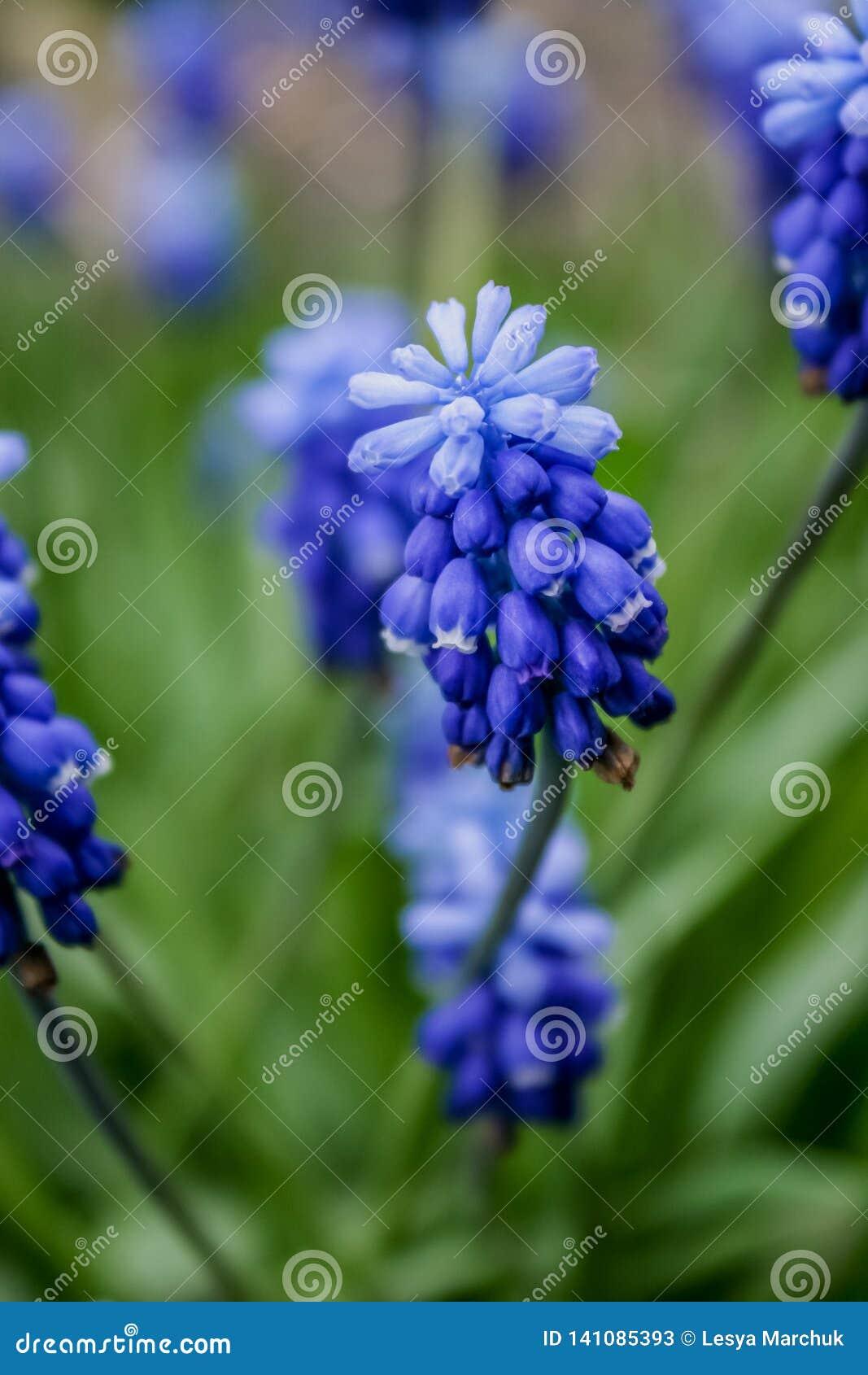 Las pequeñas flores azules florecen en muskari de la primavera al aire libre