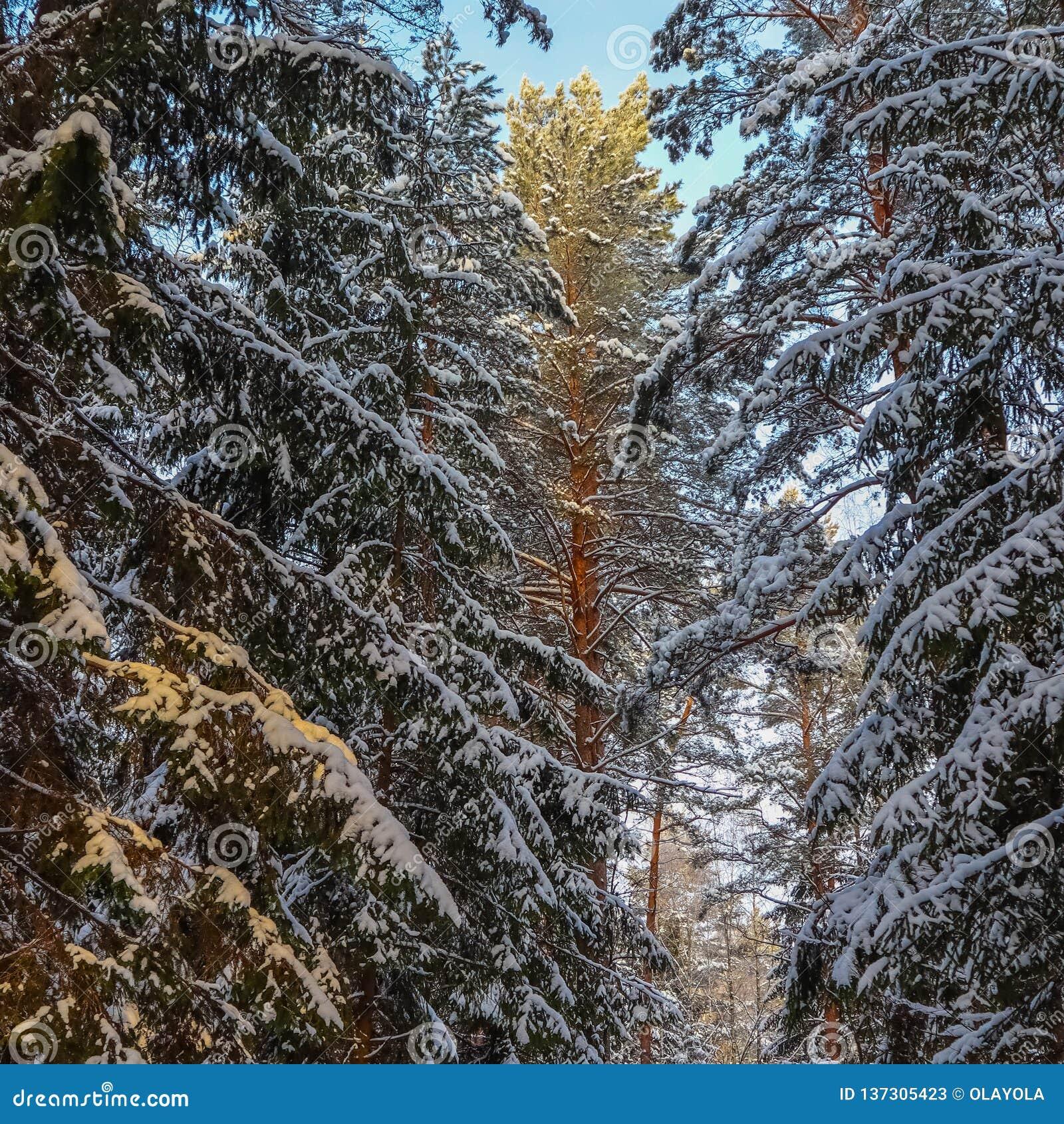 Las piceas y los pinos nevados son encendidos por la luz del sol Bosque del invierno Nevado