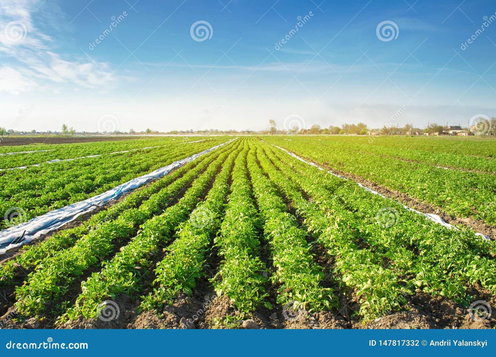 Las plantaciones de la patata son crecen en el campo en un día soleado Verduras org?nicas crecientes en el campo filas vegetales