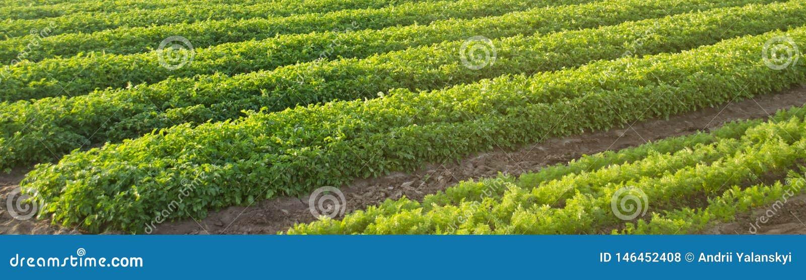 Las plantaciones de la zanahoria crecen en el campo Agricultura Veh?culos org?nicos filas vegetales farming bandera Foco selectiv