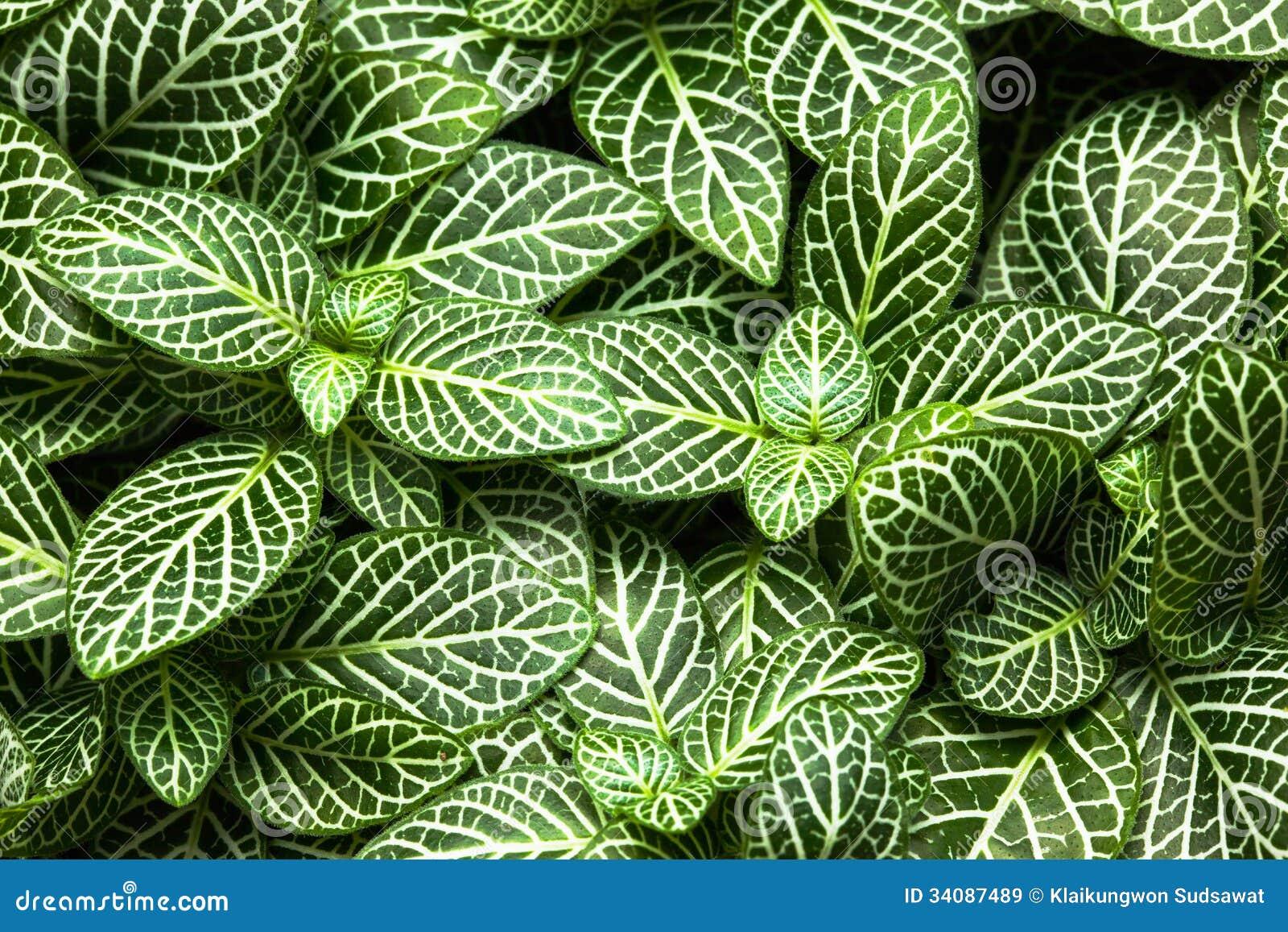 Las plantas ornamentales de la hoja rayada se cierran para for Plantas decorativas ornamentales