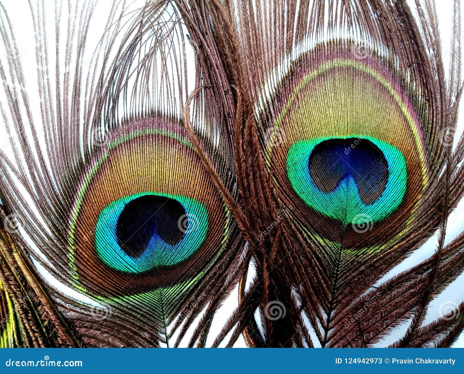 Las plumas del pavo real se cierran para arriba aislado en un fondo blanco